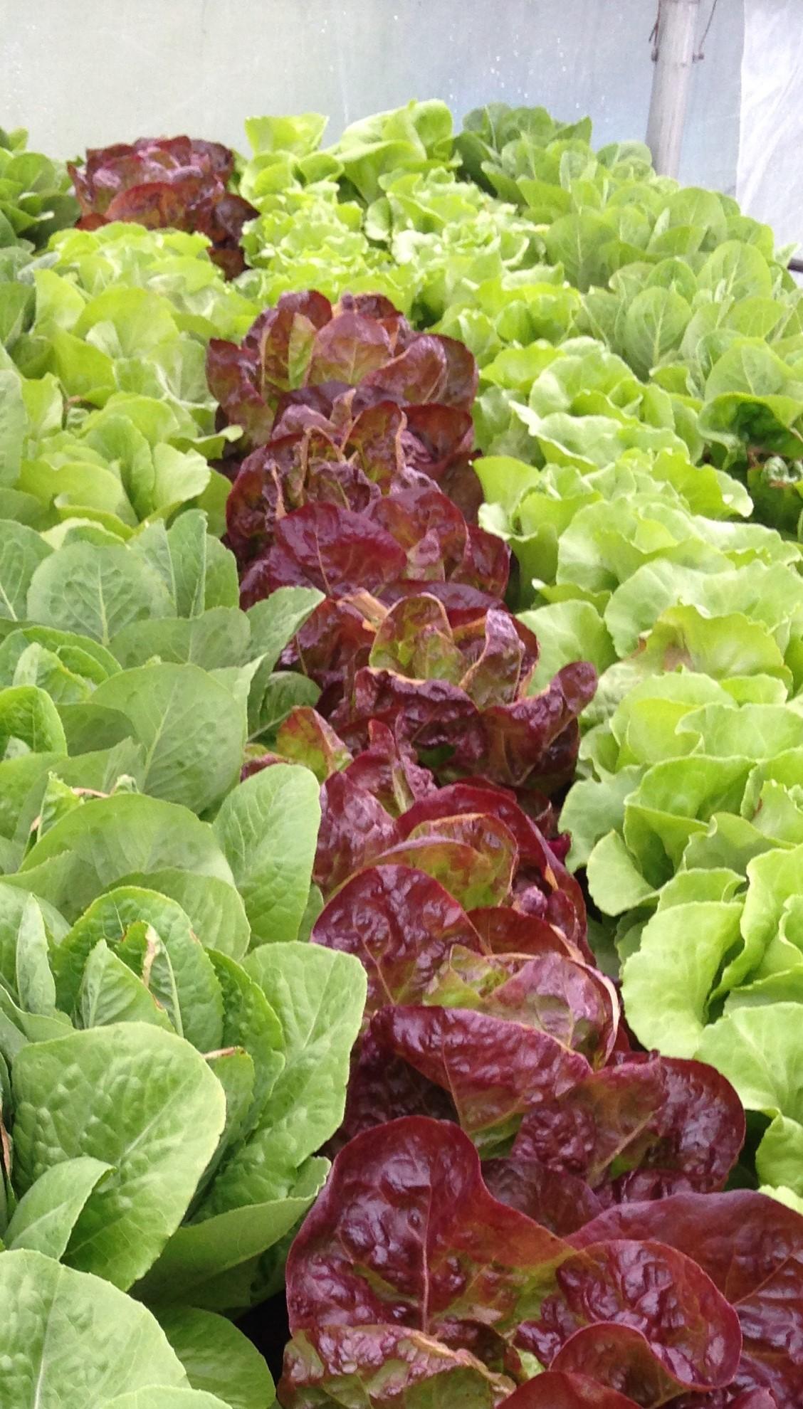 a lettuce II.JPG