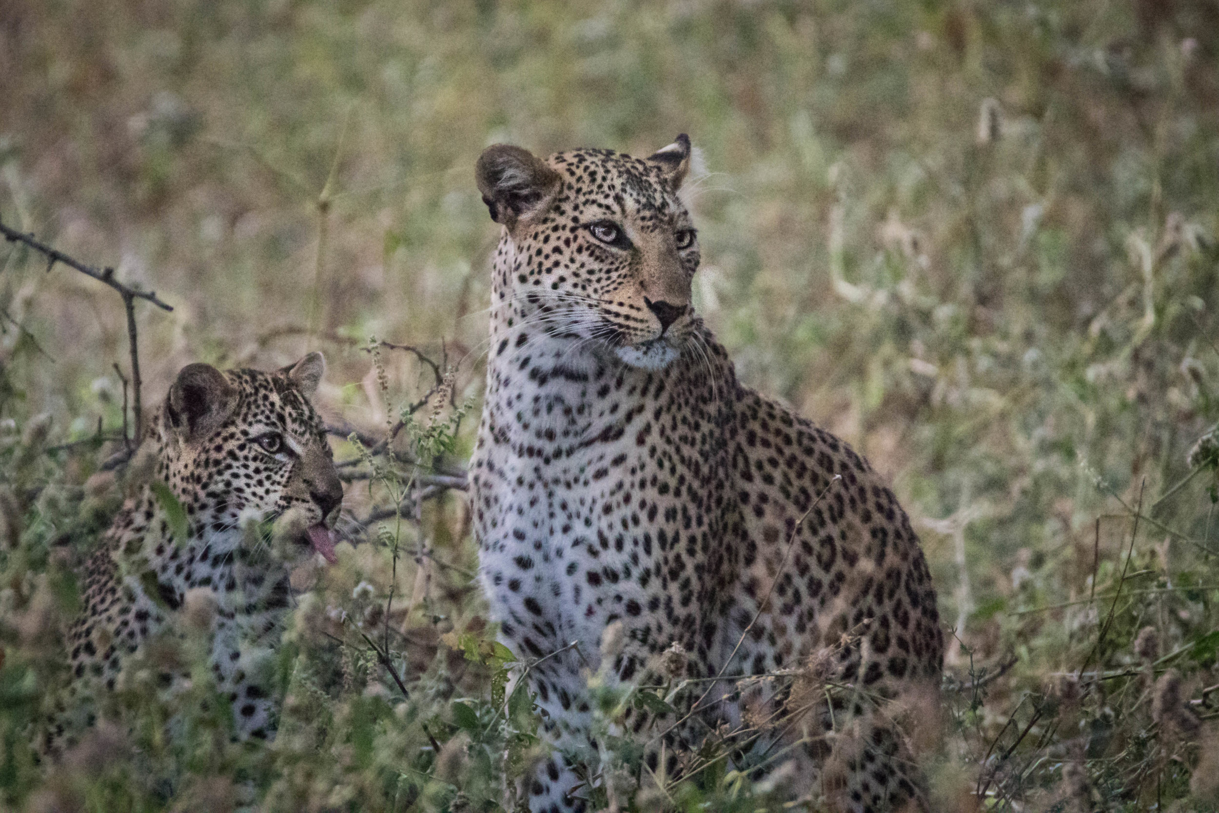 The nearby hyena (out of picture) was of no concern to this mother and her cub!