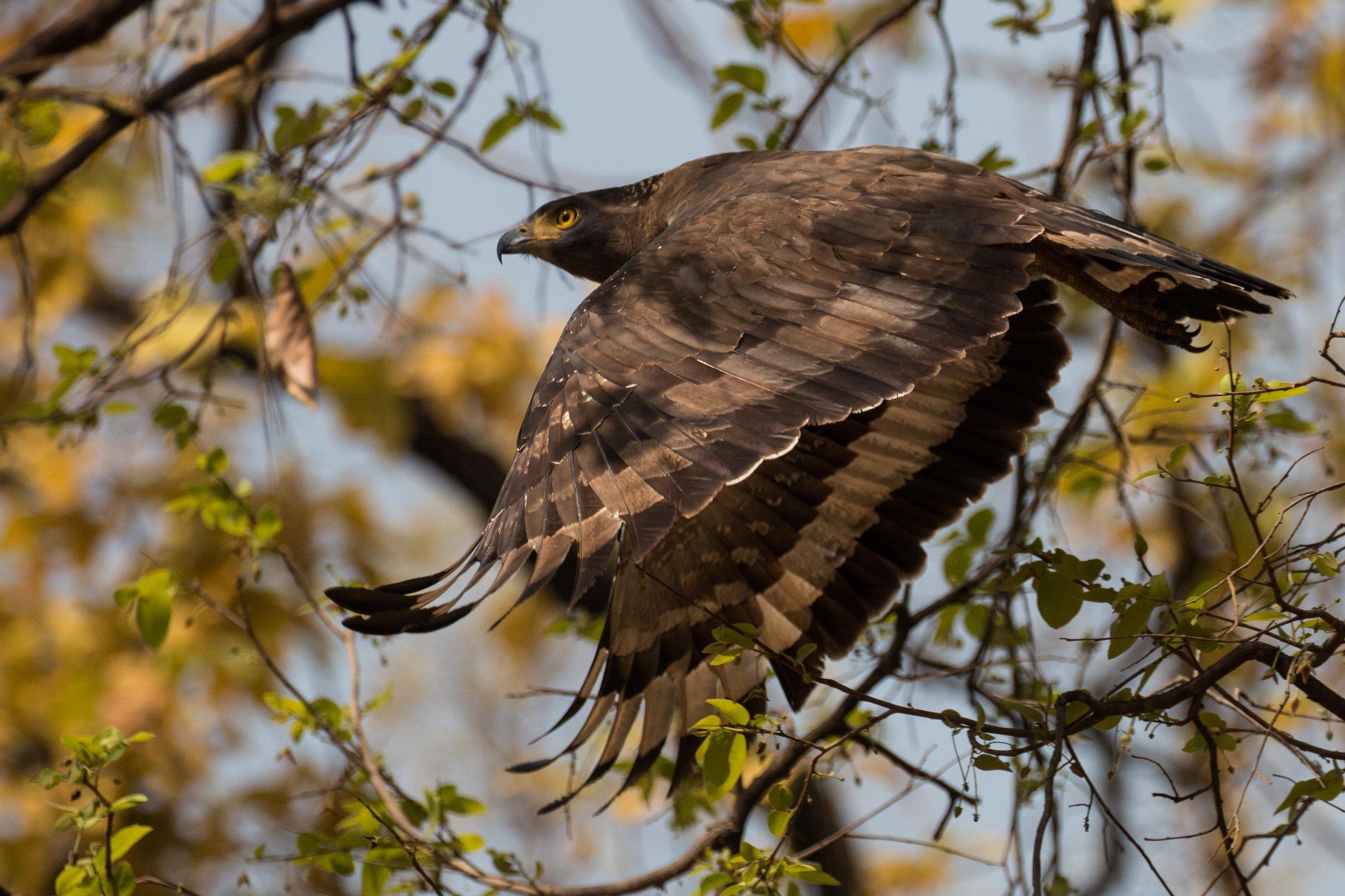 Serpent Eagle Flying