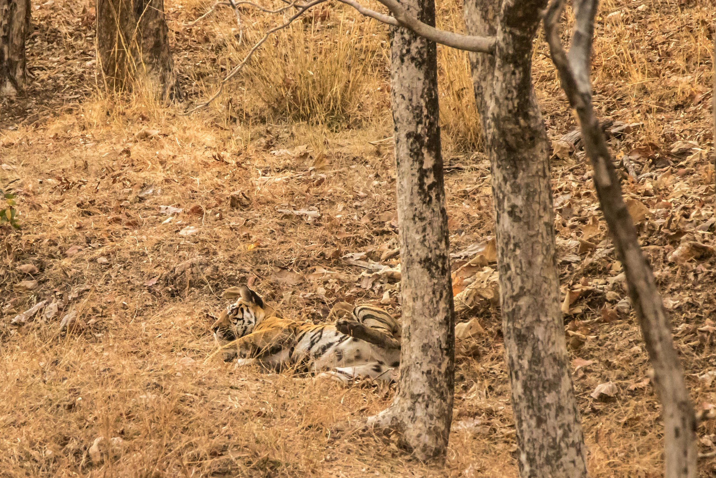 Pench - Tigress 1 (2) (1 of 1).jpg
