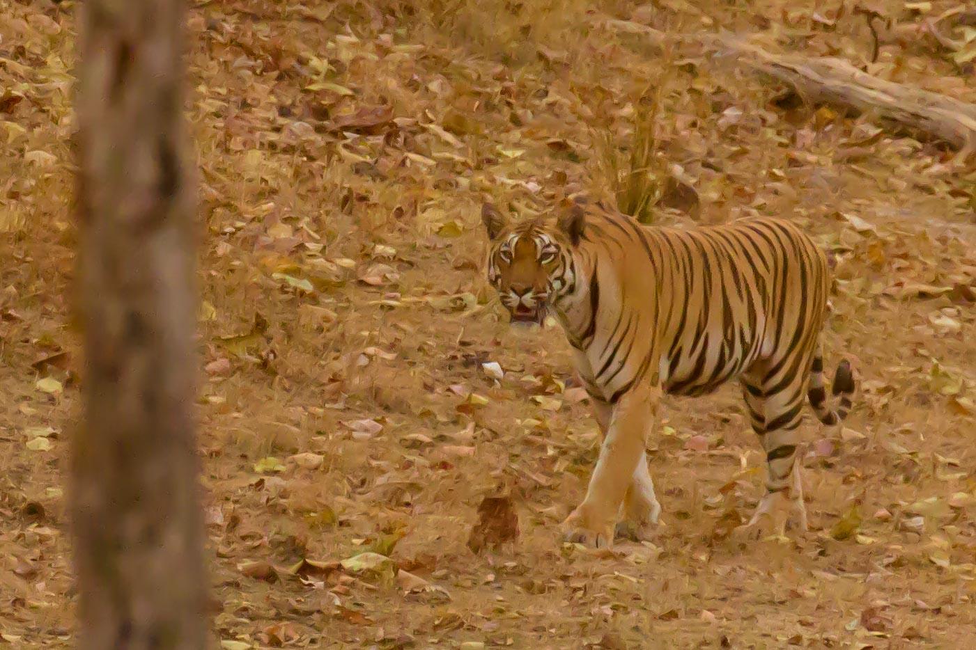 Pench - Tiger 1.jpg