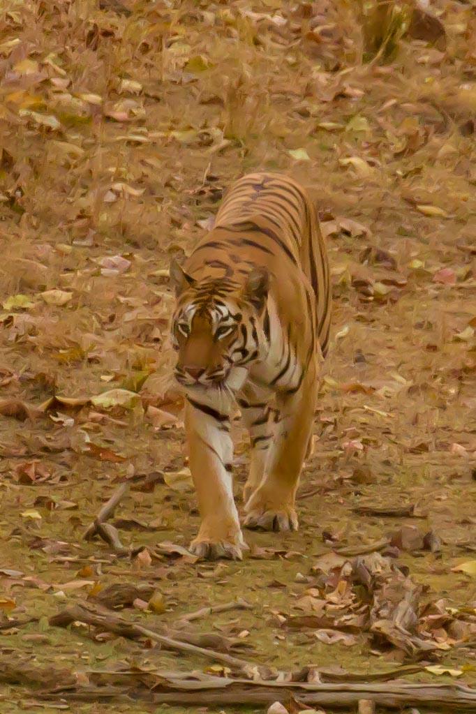 Pench - Tiger 1-2.jpg