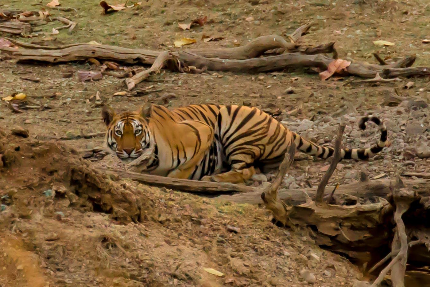 Pench - Tiger 1-3.jpg