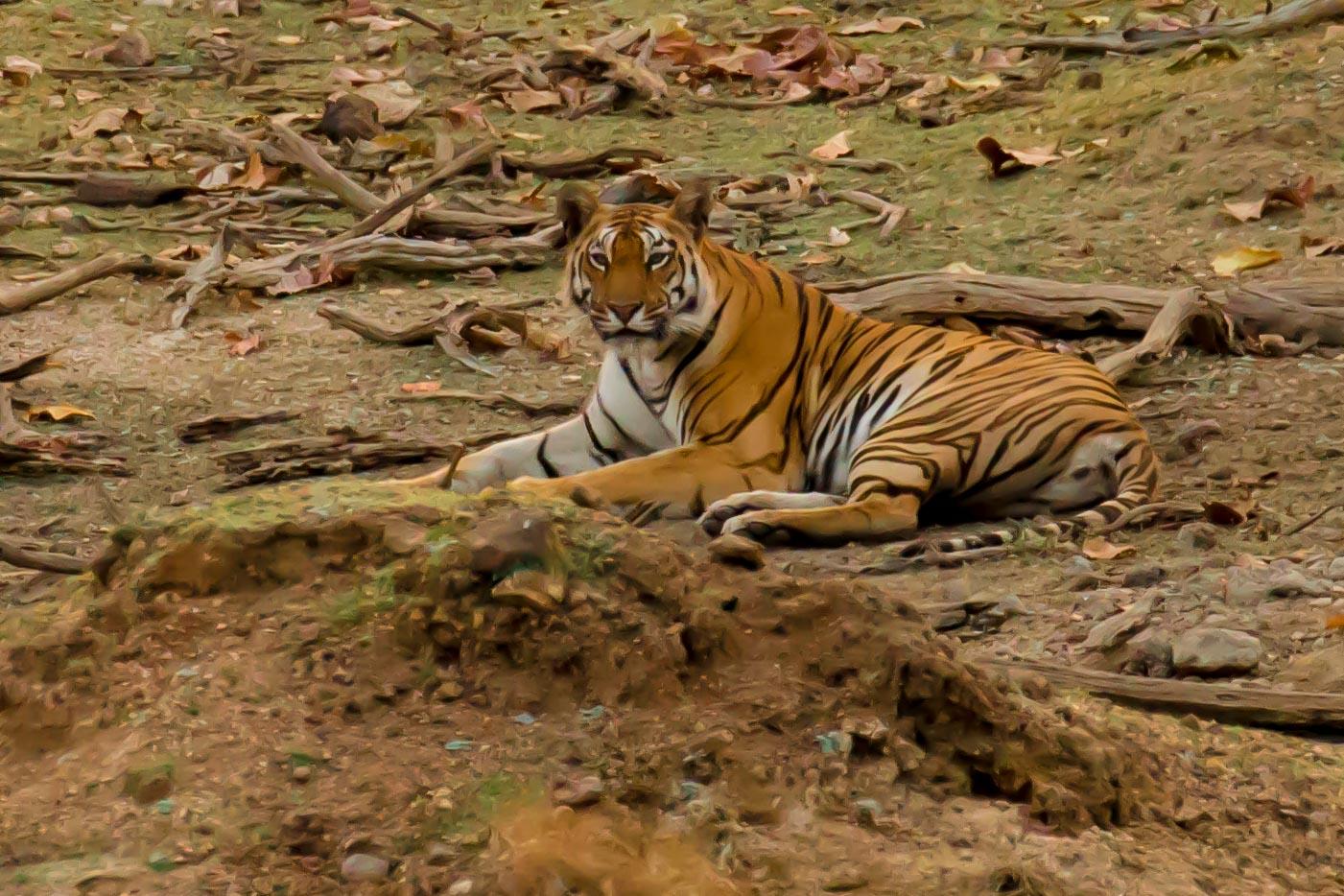 Pench - Tiger 1-4.jpg