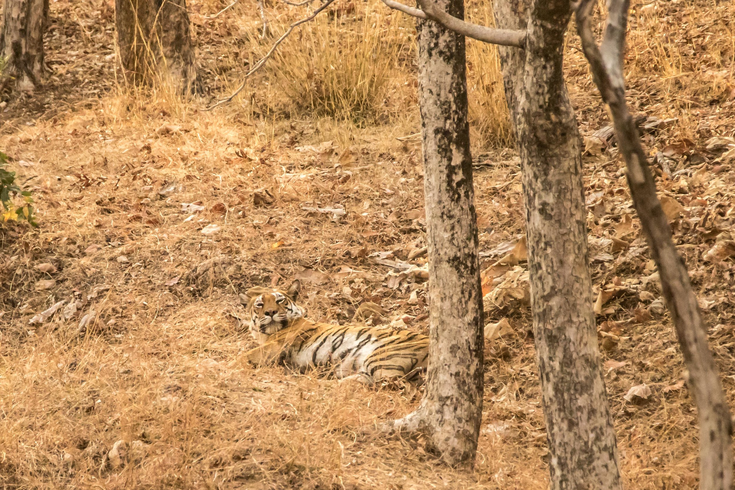 Pench - Tigress 1 (1 of 1).jpg