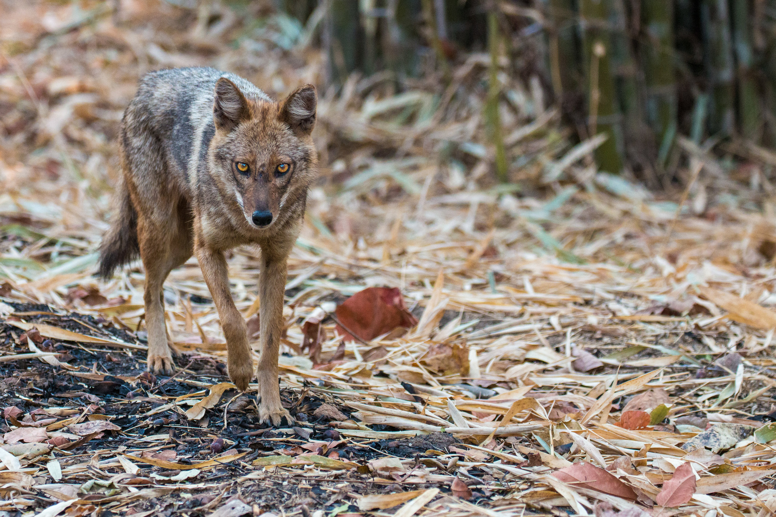 Jackal on the prowl in the early morning light.