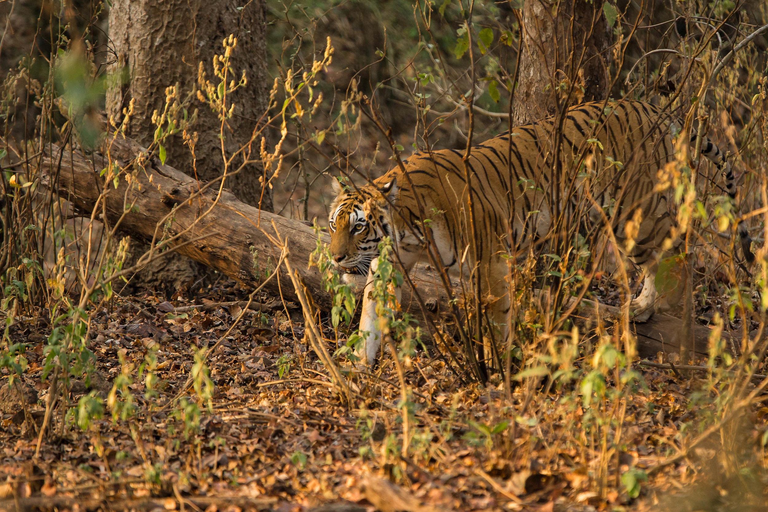 Kanha (Last Tigress) (1 of 4).jpg