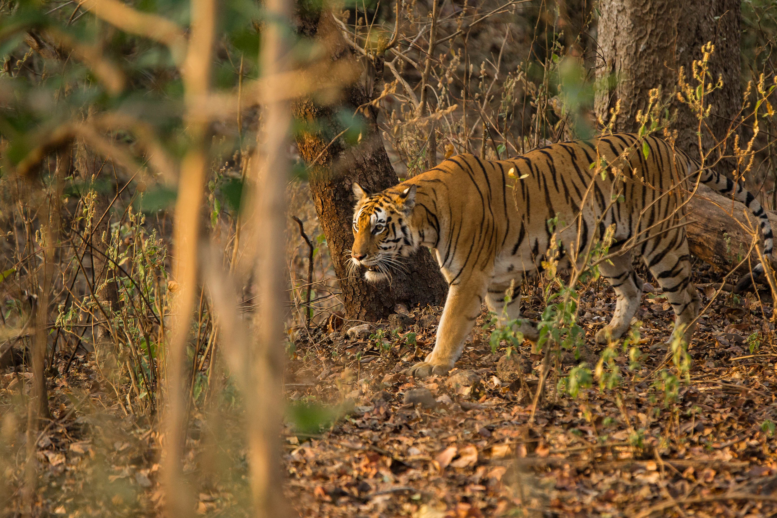 Kanha (Last Tigress) (3 of 4).jpg