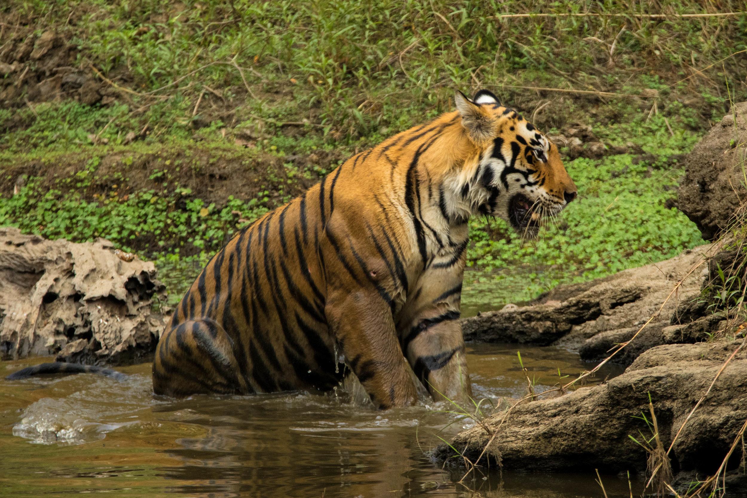 Kanha (Male Tiger) (4 of 4).jpg