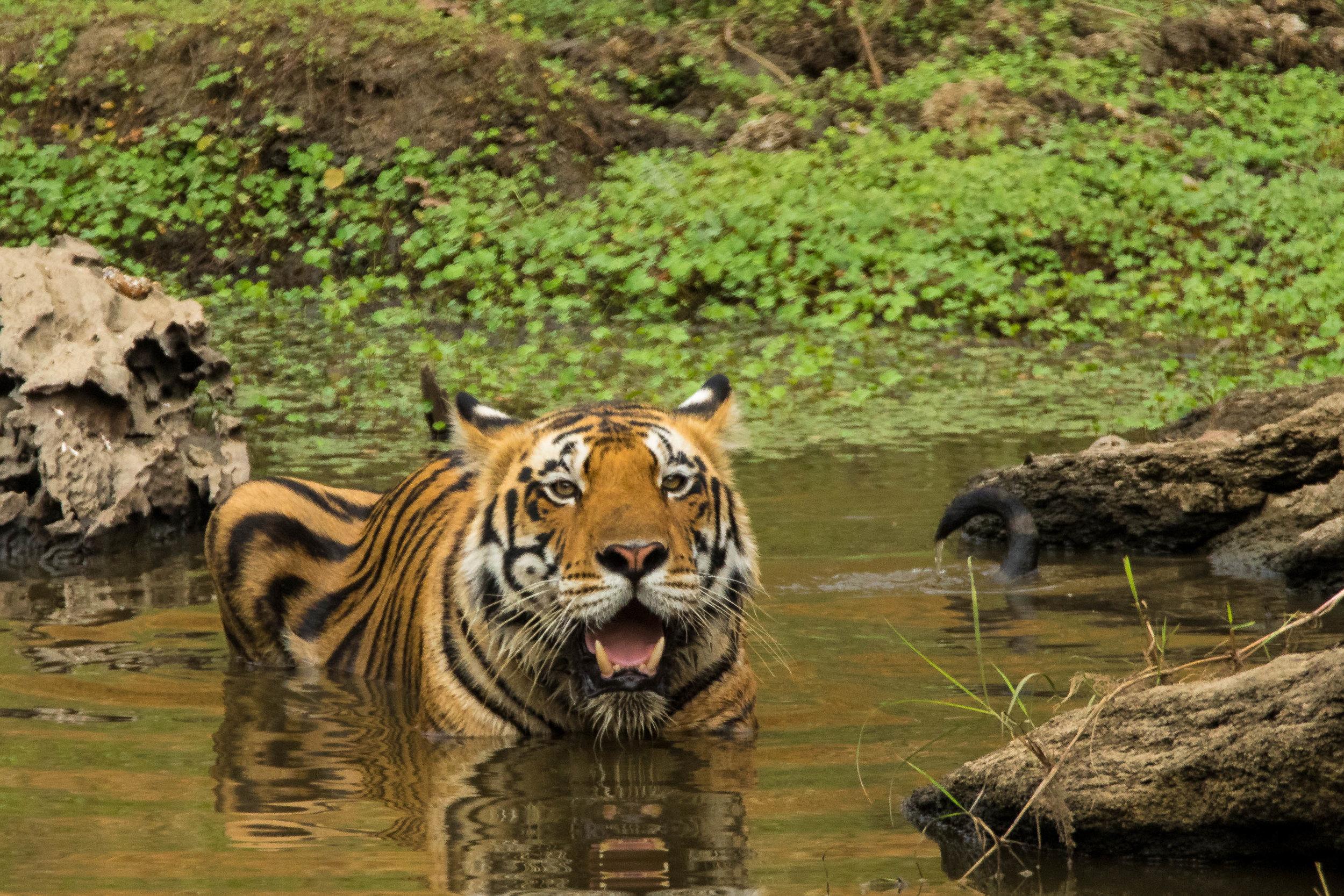 Kanha (Male Tiger) (3 of 4).jpg