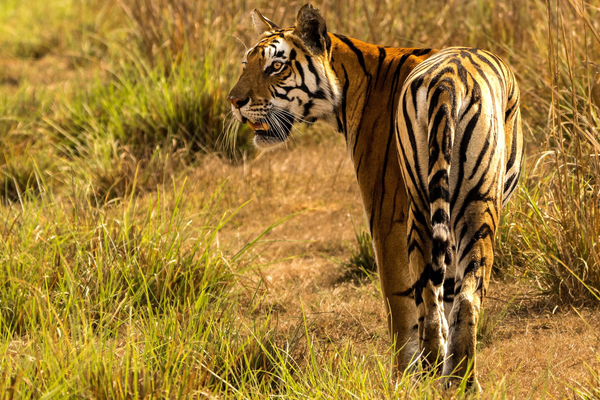 """Tigress """"Neelam"""" (Designated """"T63"""")"""