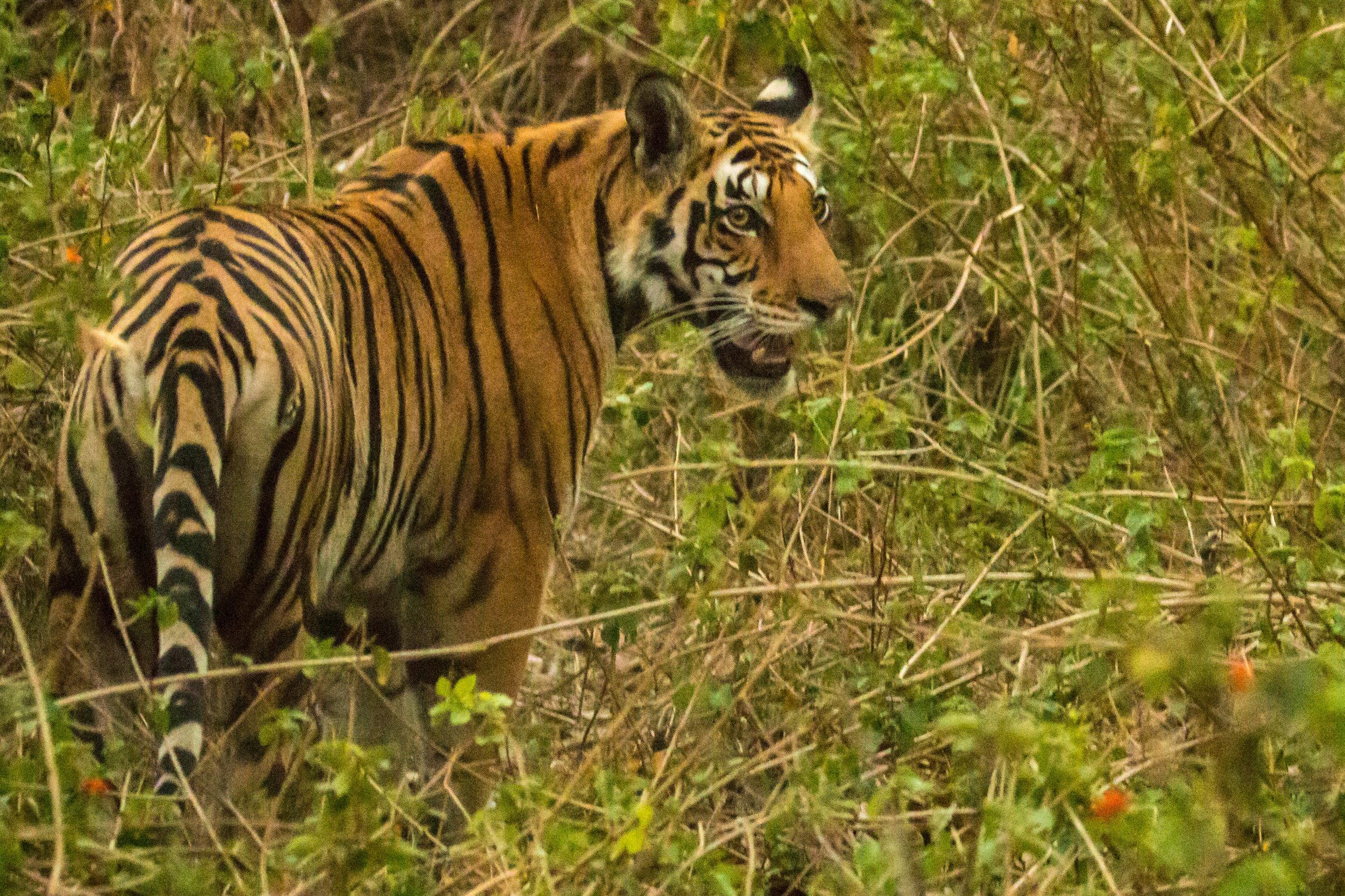FIrst Kanha Tigress (1 of 1).jpg