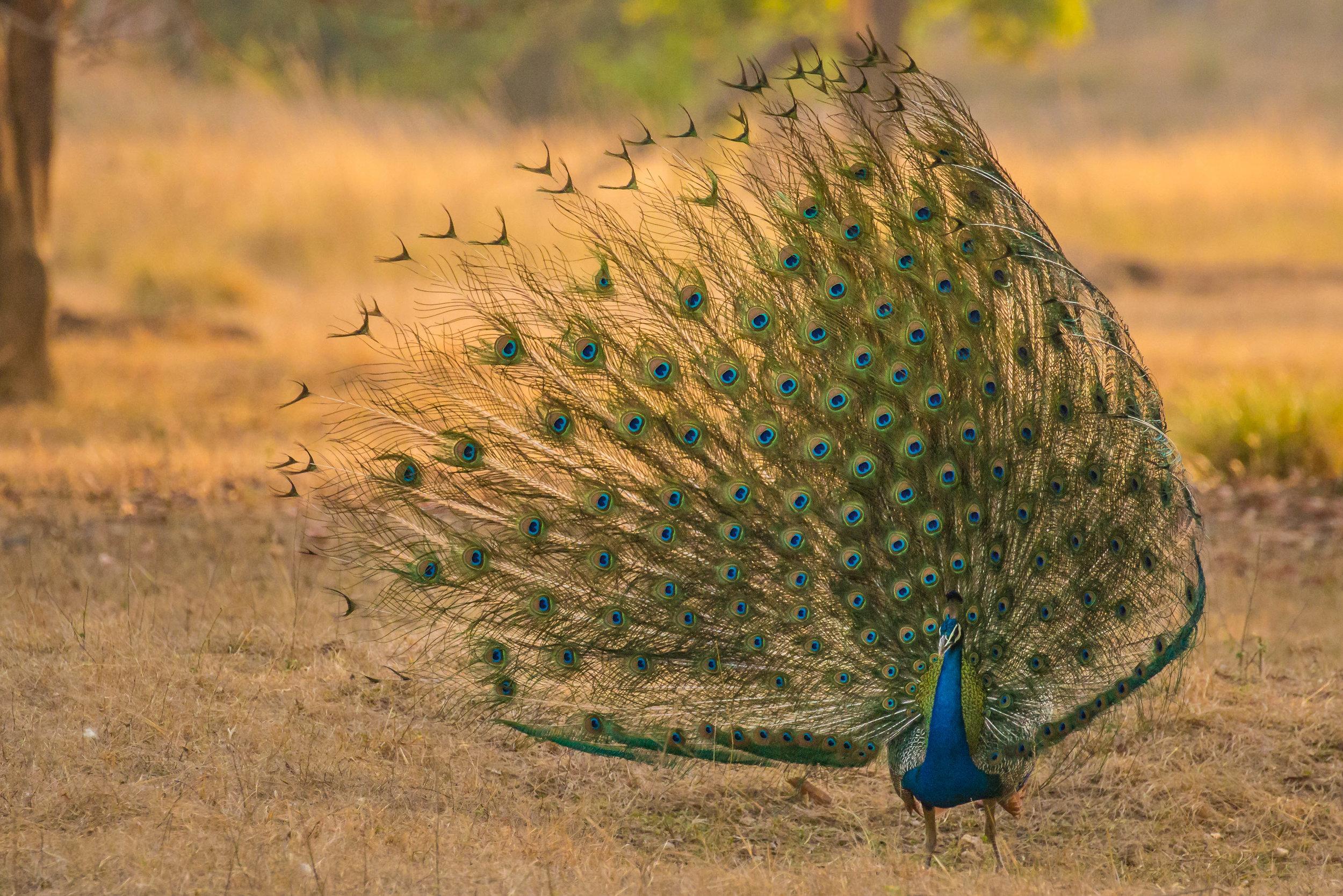 Peacock in full display mode.