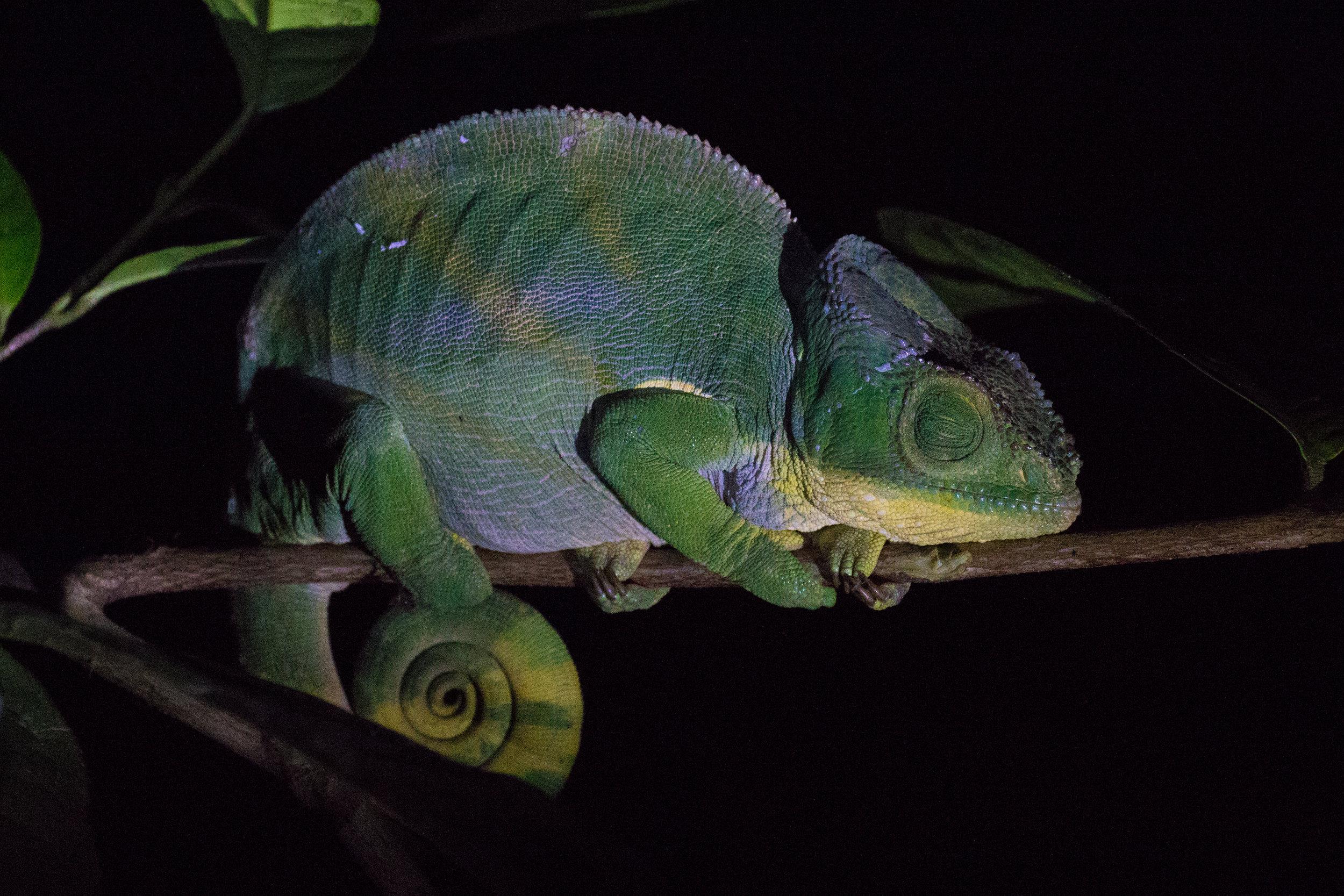 Chameleon at night.jpg