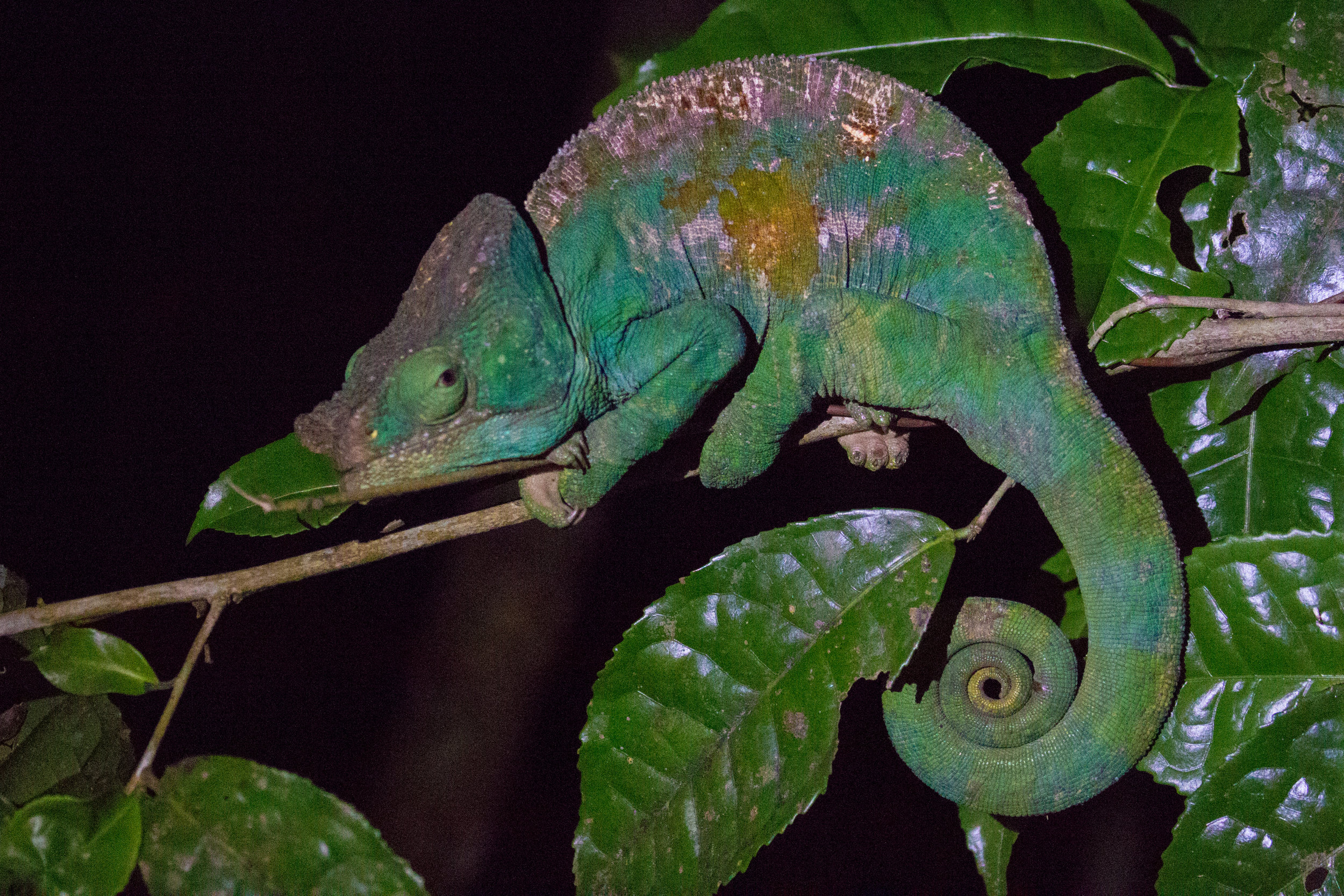 Chameleon at night-2.jpg