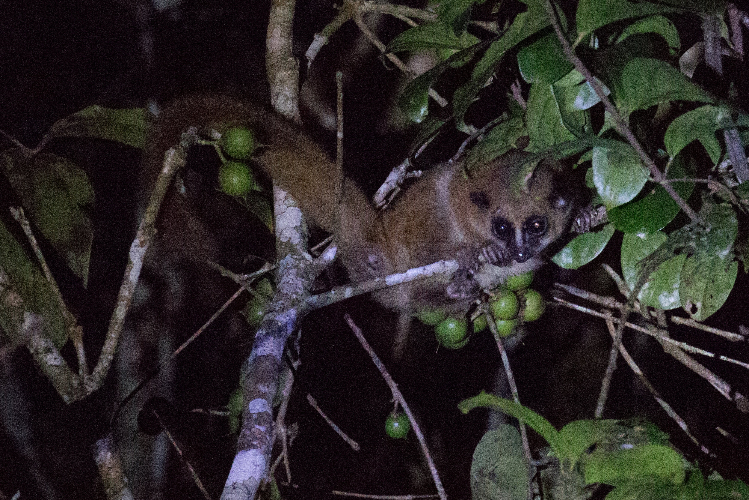 Lemur at night.jpg