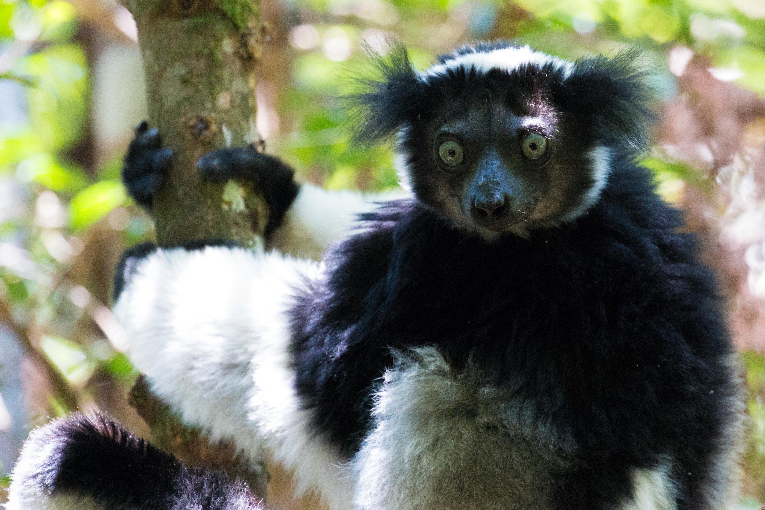 Indri A.jpg
