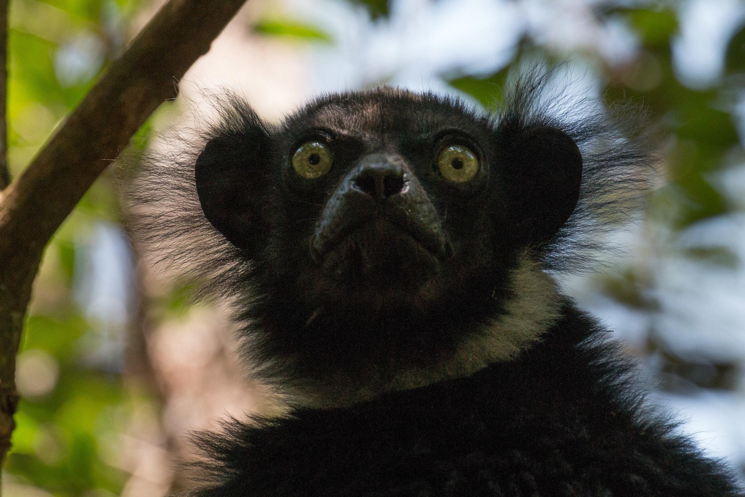 Indri B.jpg