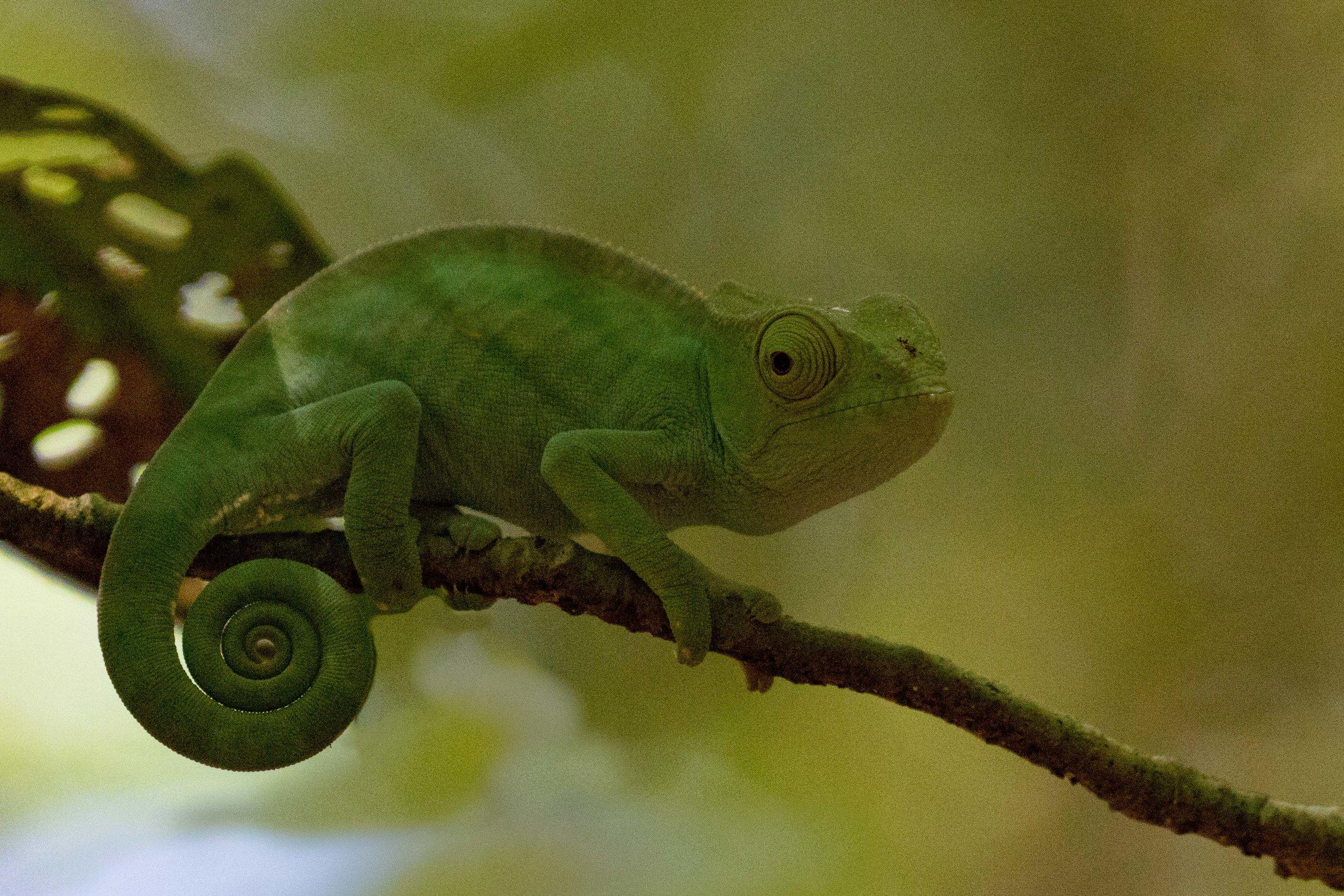 Chameleon A.jpg