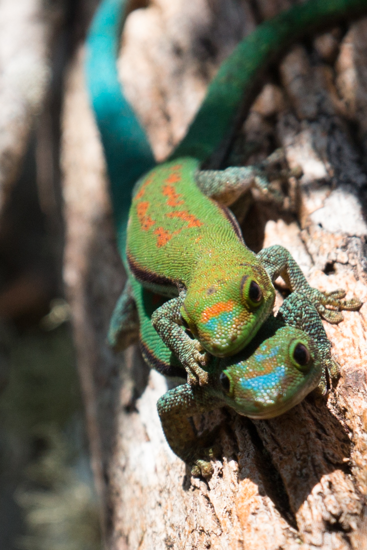 Lizards piggybacking.jpg