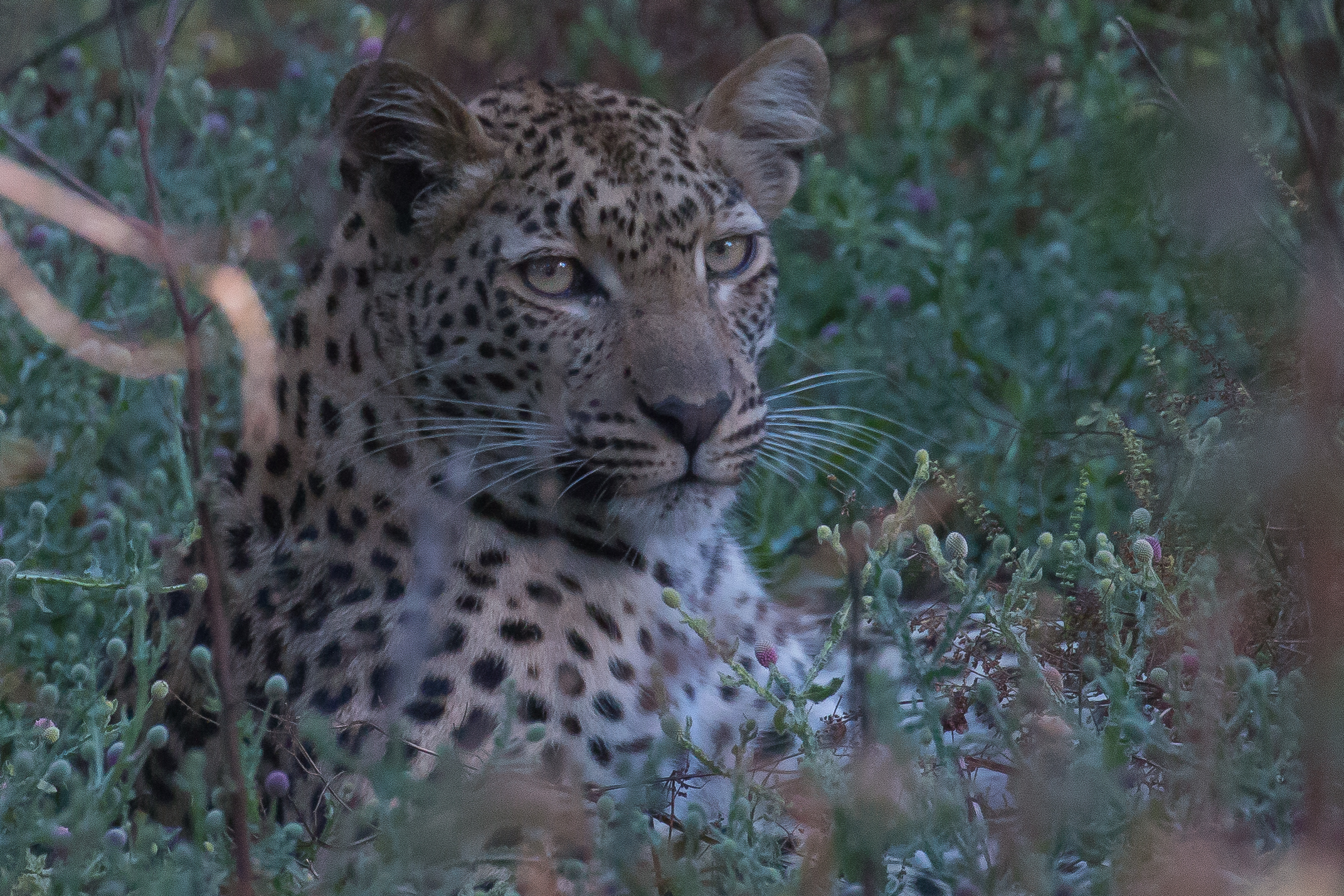 Leopard in purple bushes 2.jpg