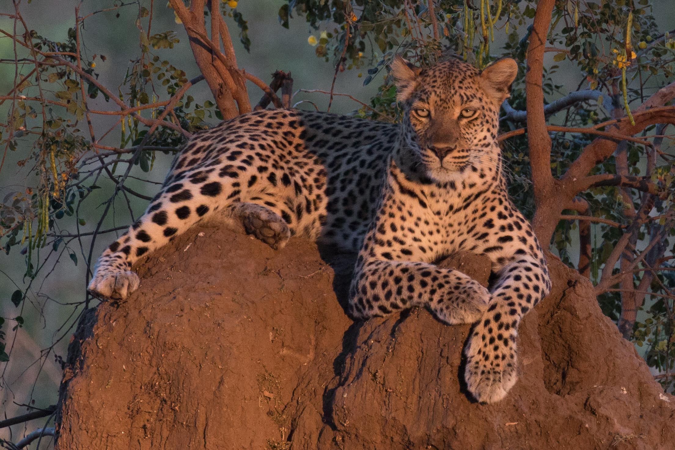 Leopard on anthill 1.jpg