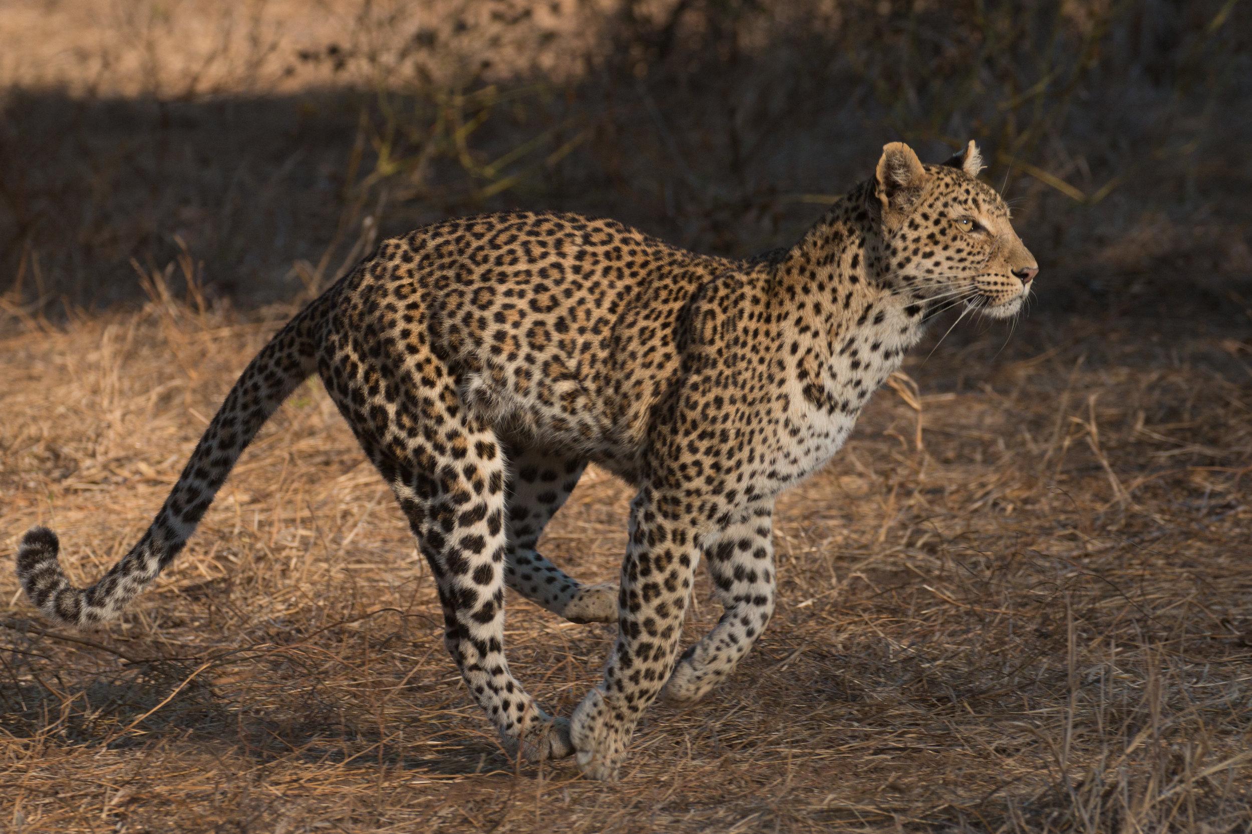Leopard 8.jpg