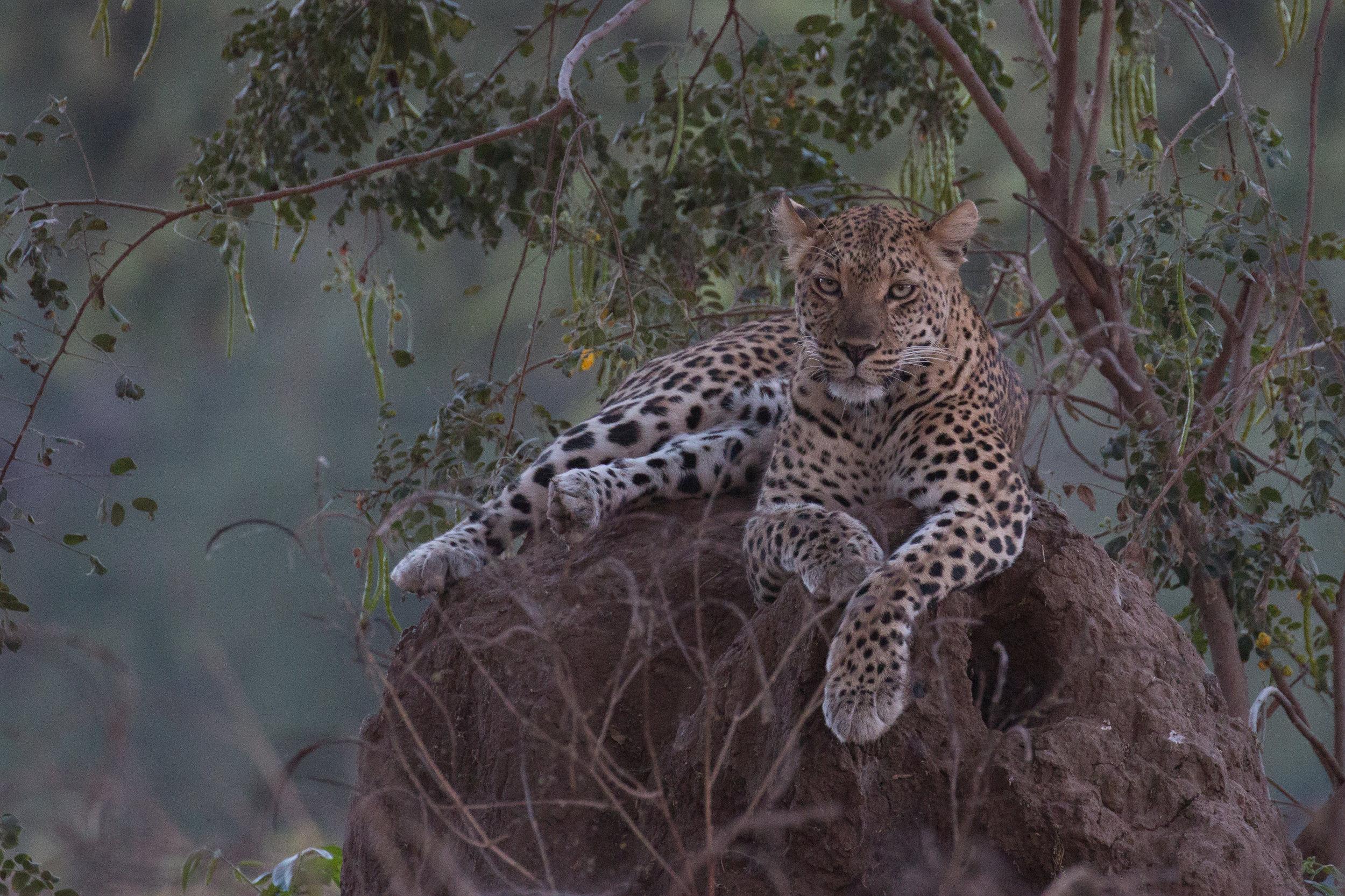 Leopard on anthill 3.jpg