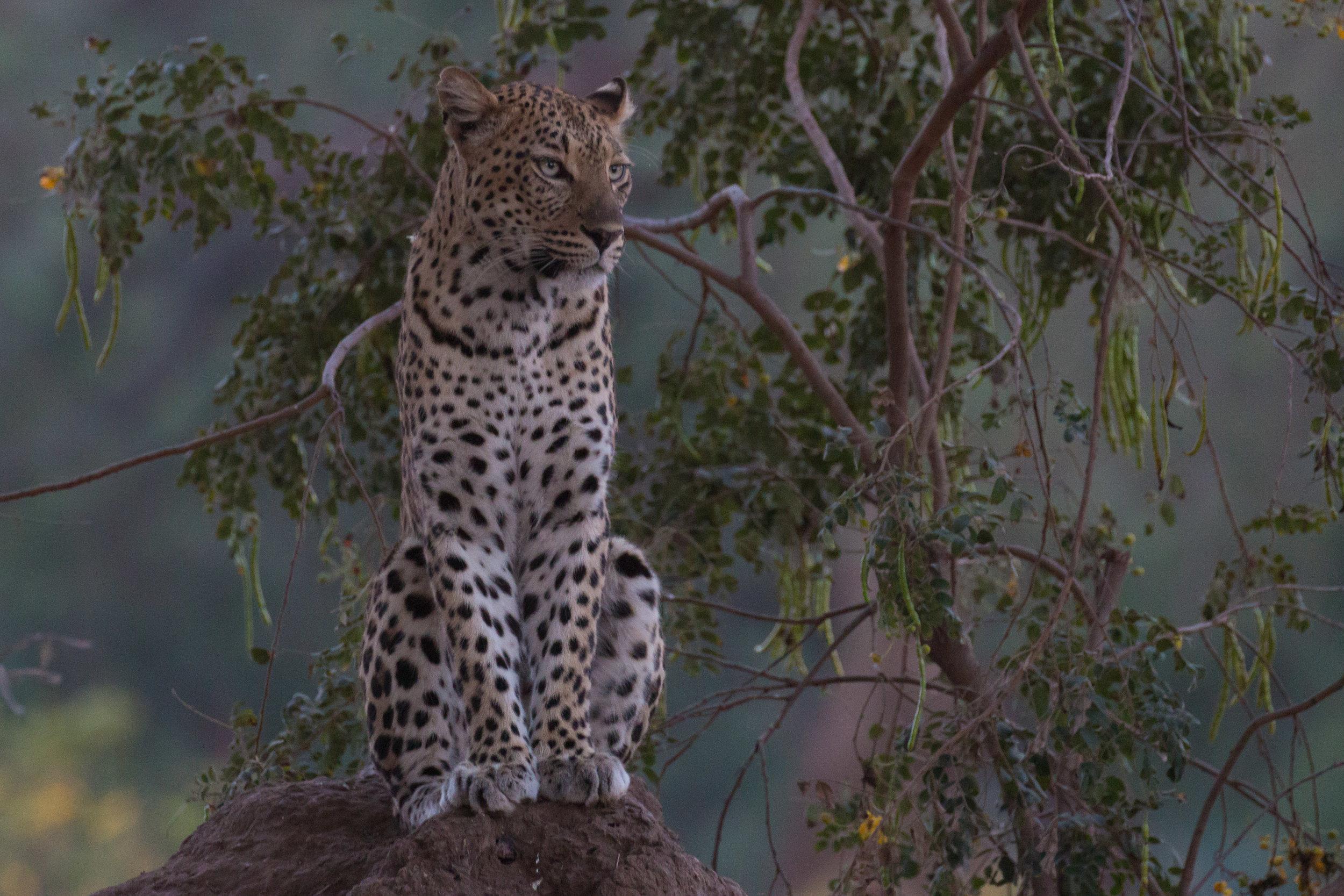 Leopard on anthill 4.jpg