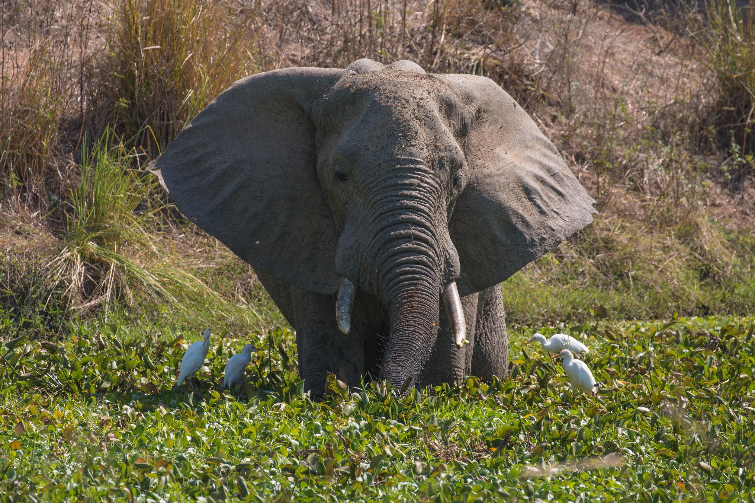 Elephant in water.jpg