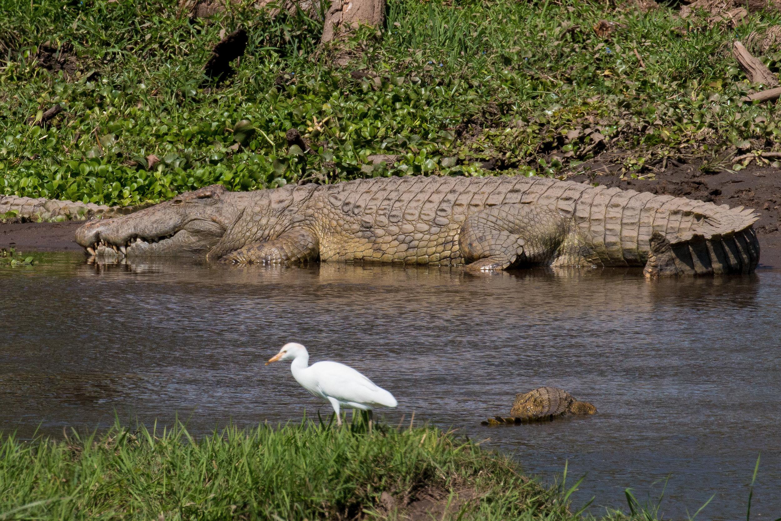 Crocodile 2.jpg