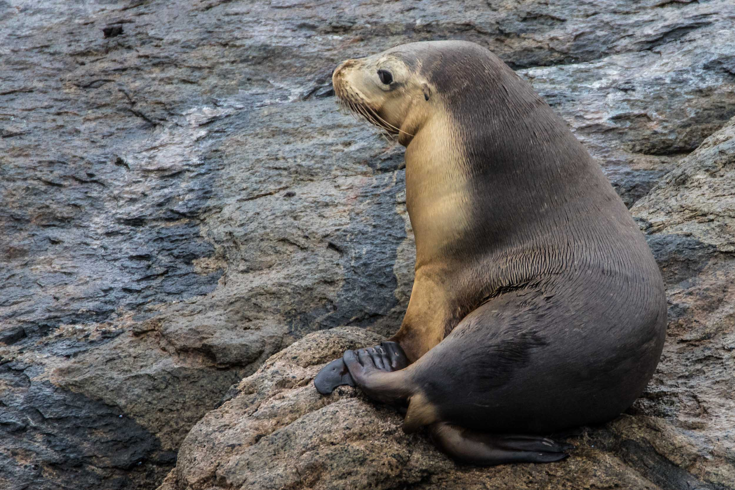 Bremer Bay Sea Lion (Glasse Island)