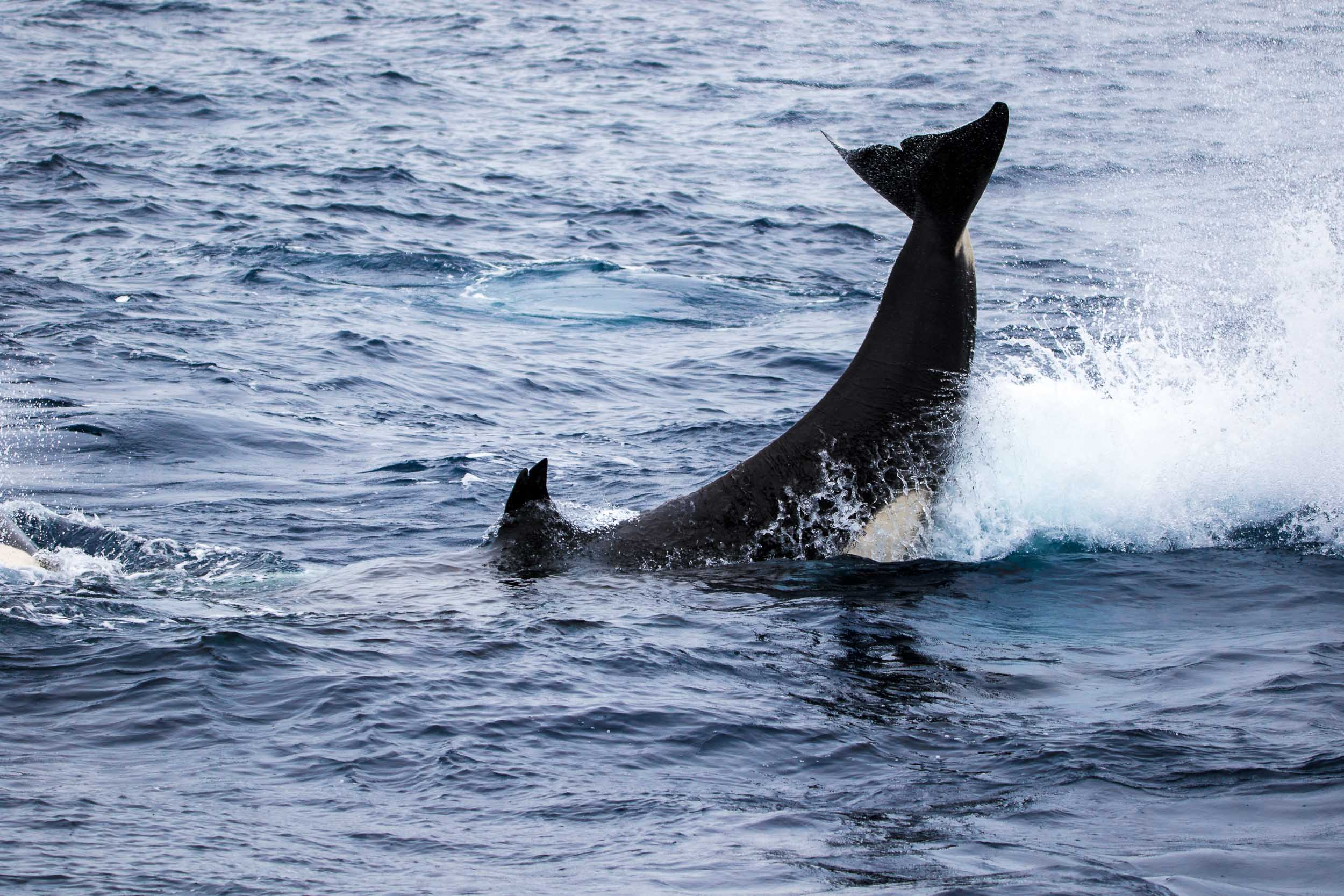 Killer whale tail slap, Bremer Bay, Western Australia 1
