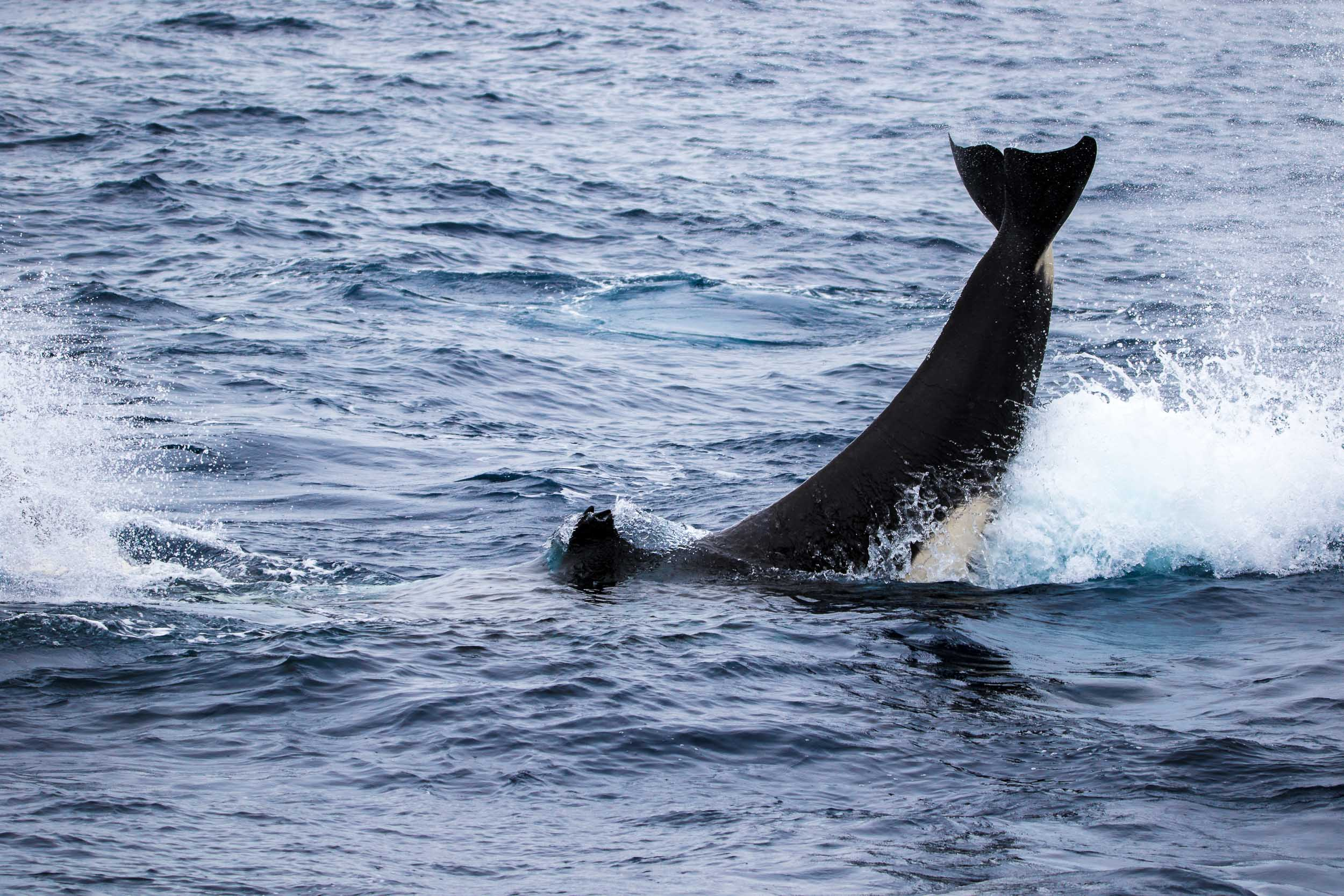 Killer whale tail slap, Bremer Bay, Western Australia 2