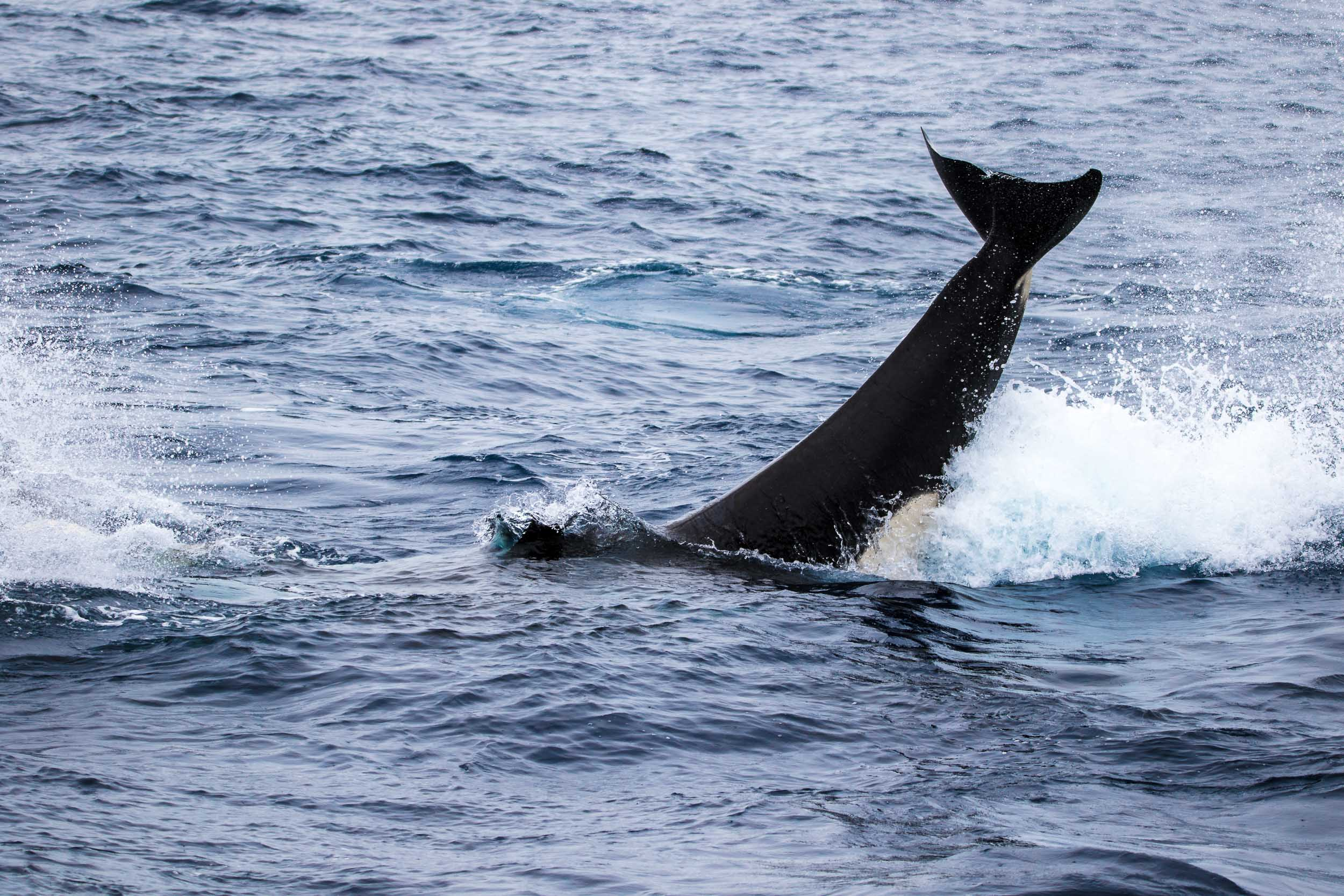 Killer whale tail slap, Bremer Bay, Western Australia 3