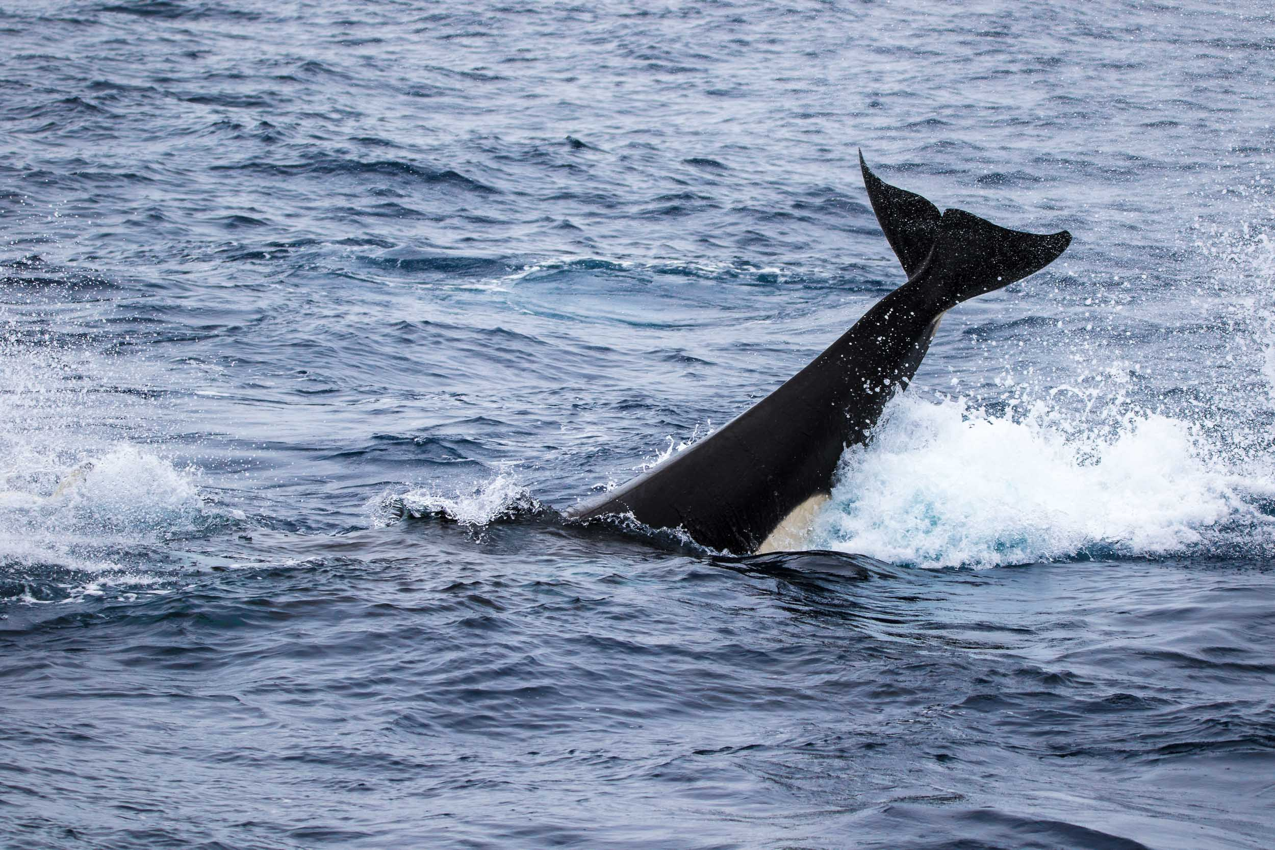 Killer whale tail slap, Bremer Bay, Western Australia 4