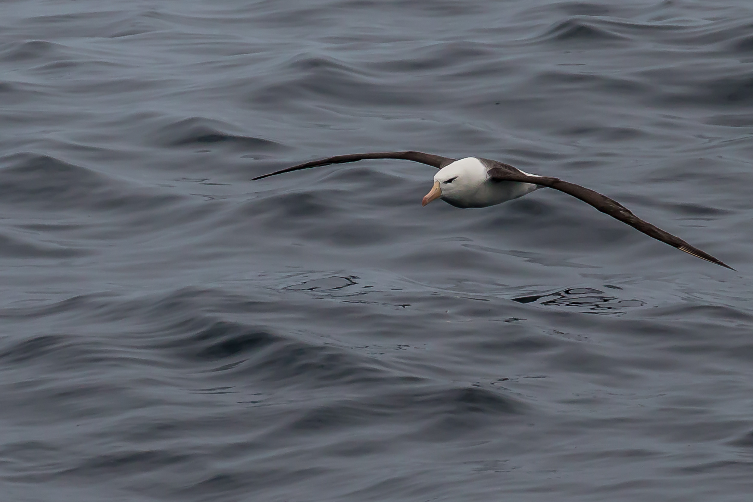 An ever graceful albatross skims the surface