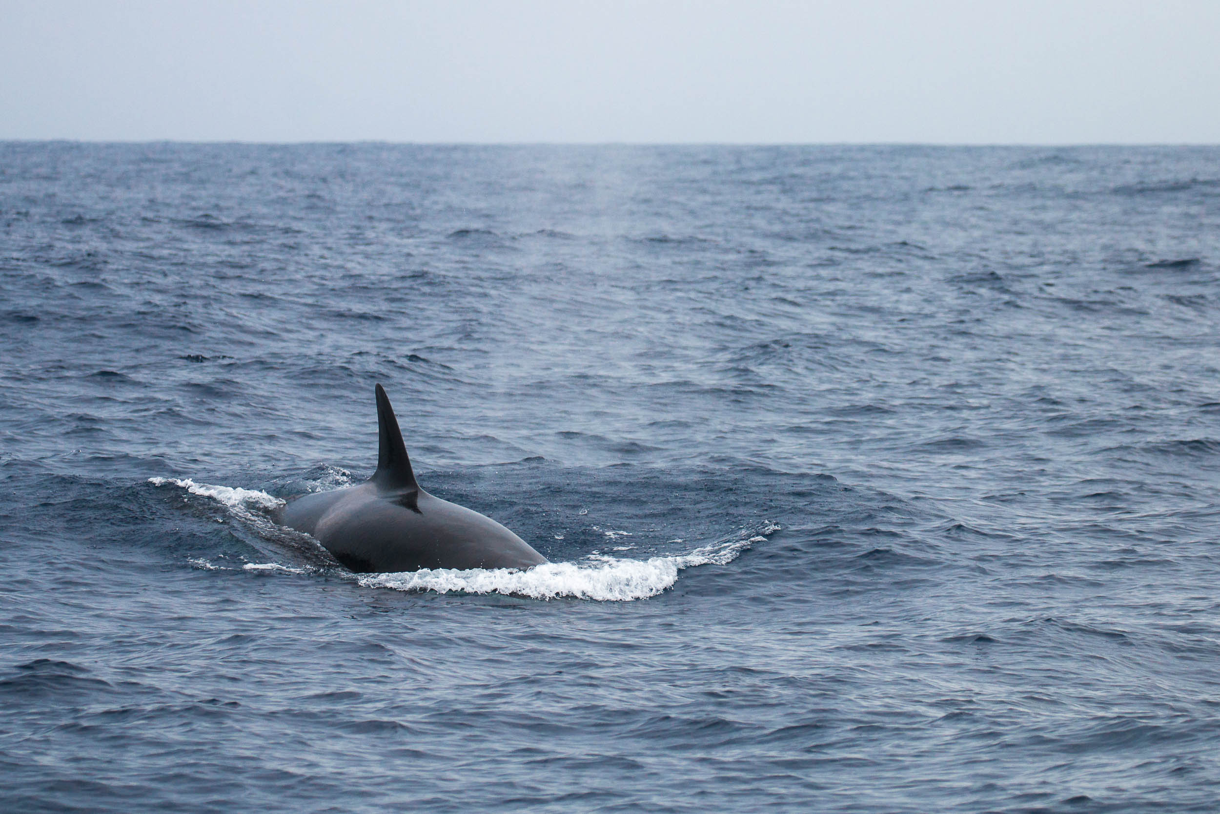Orcas of Bremer Bay (6 of 28).jpg