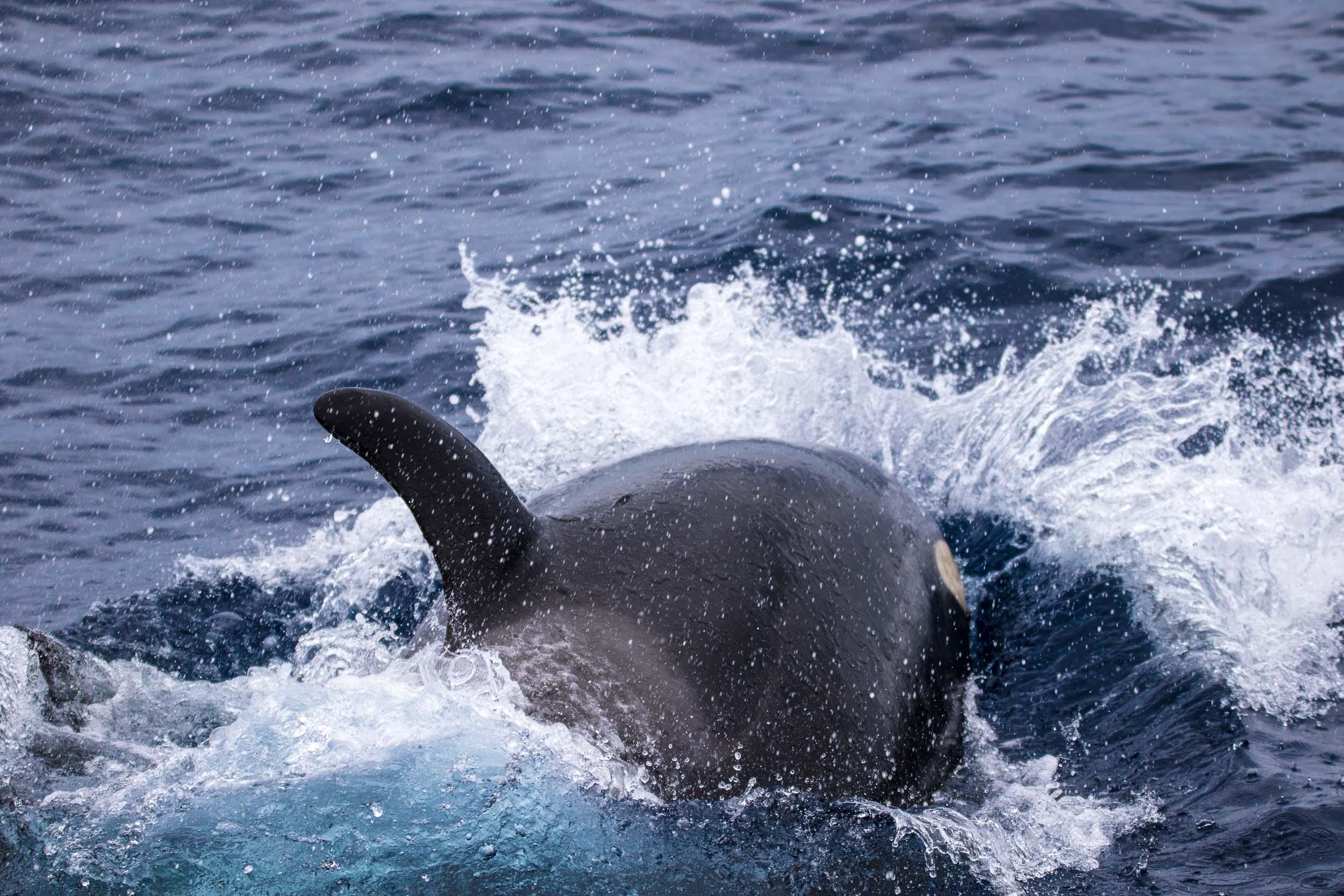 Bremer Bay (Killer Whales)-9236.jpg