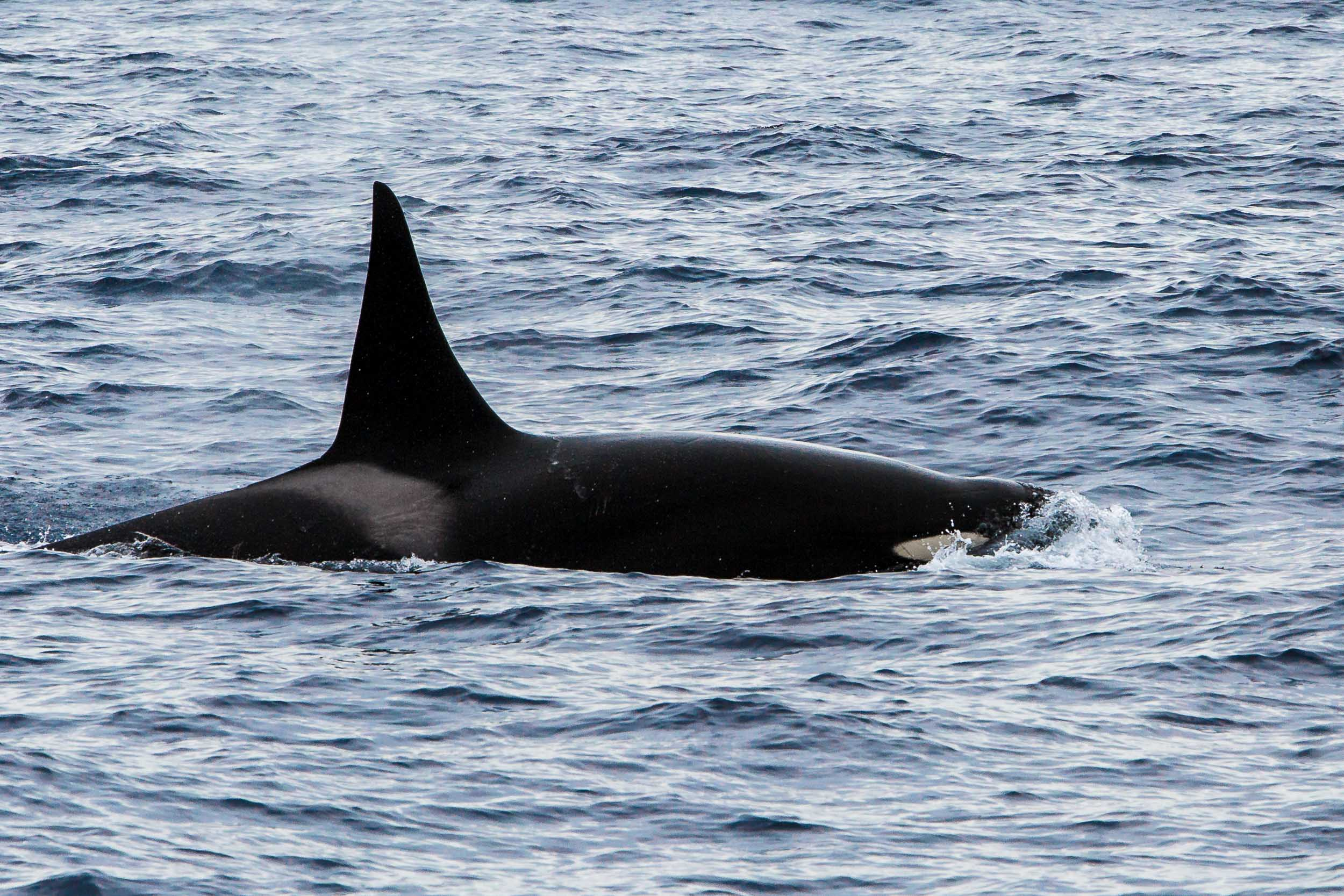 The pod's big male, Bremer Bay Killer Whales-8464.jpg