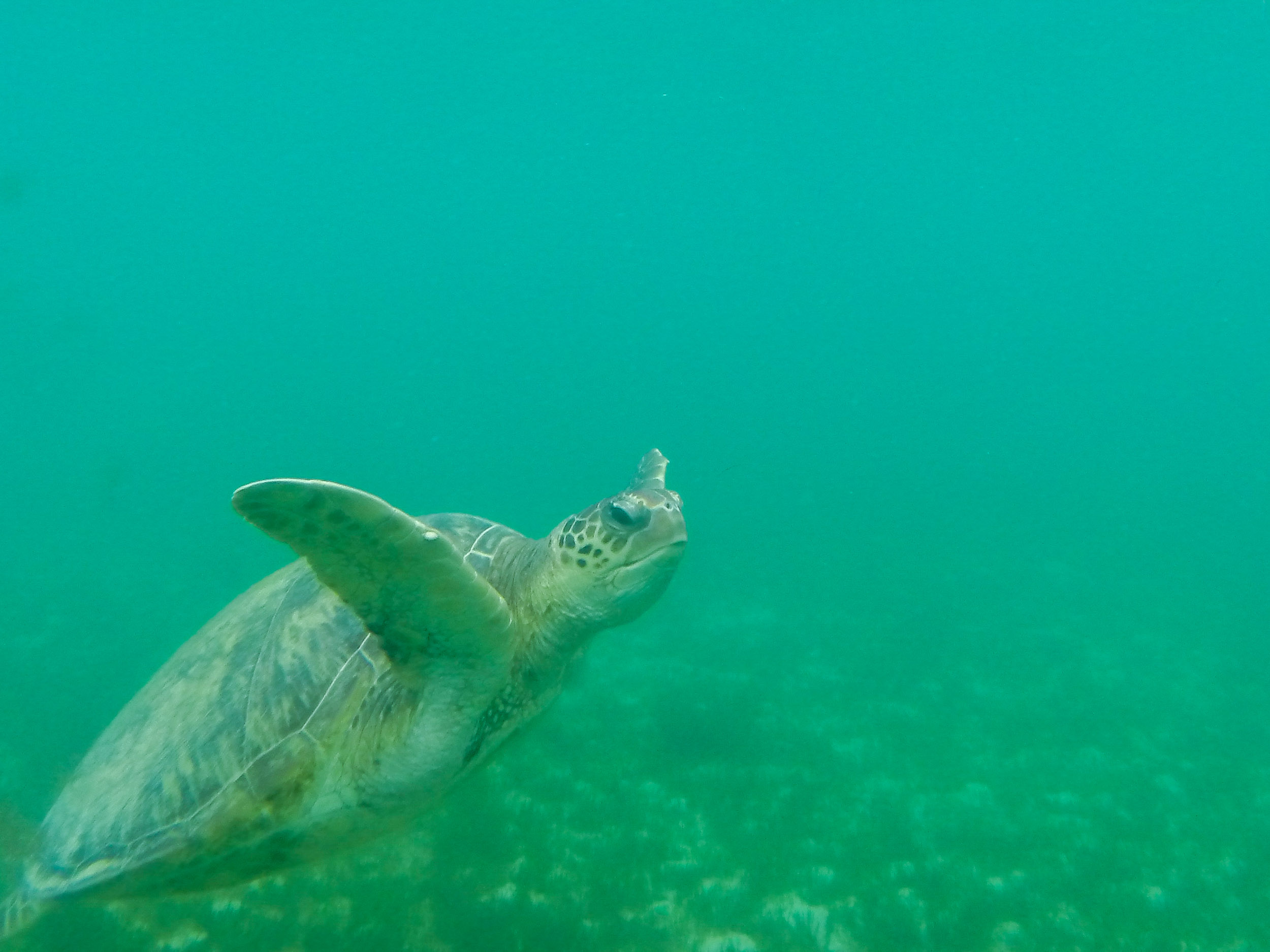 Turtle at Old Settlement Beach, Lord Howe Island.jpg