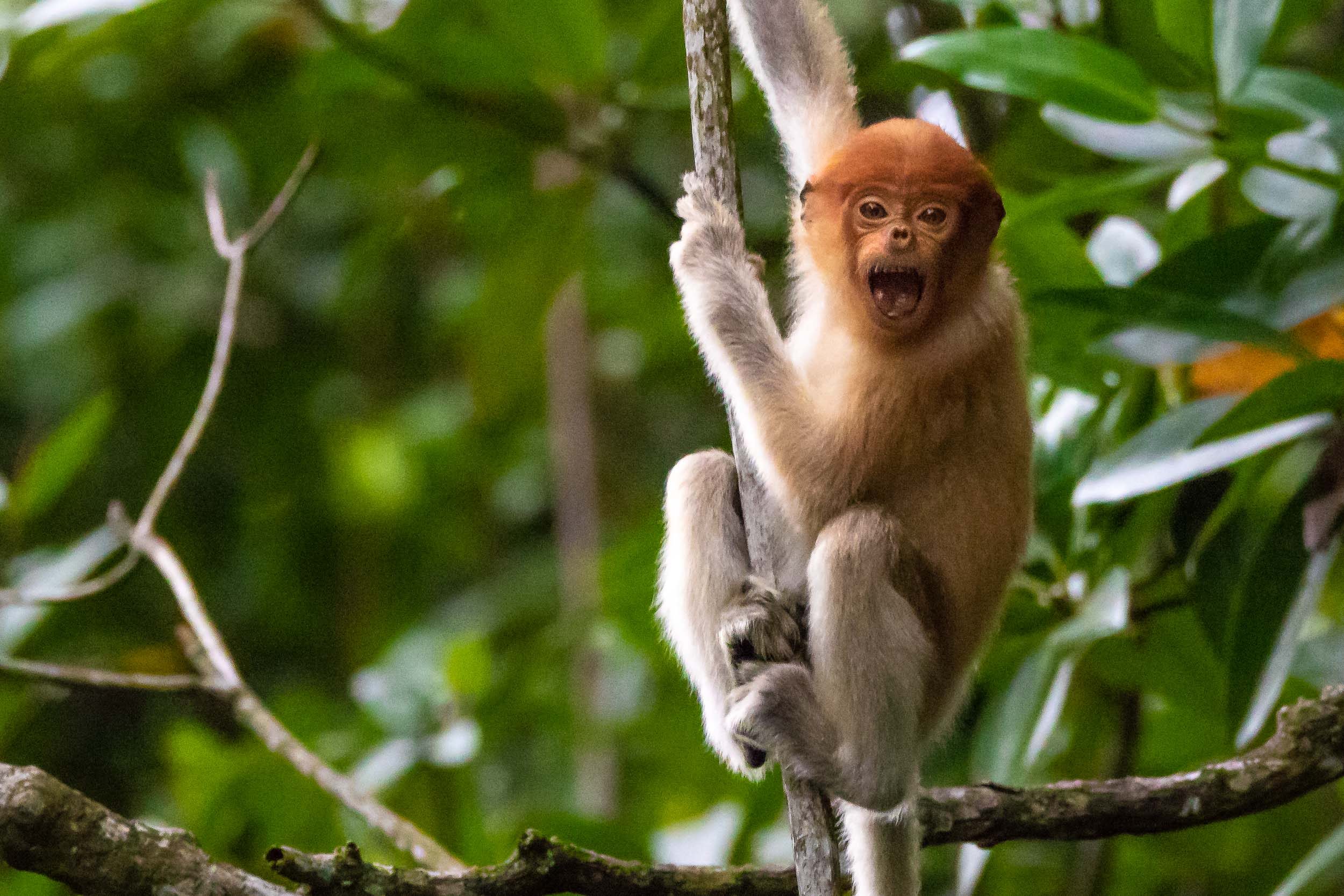 A juvenile Proboscis Monkey greets us hello. Spotted from our boat on the Brunei River.