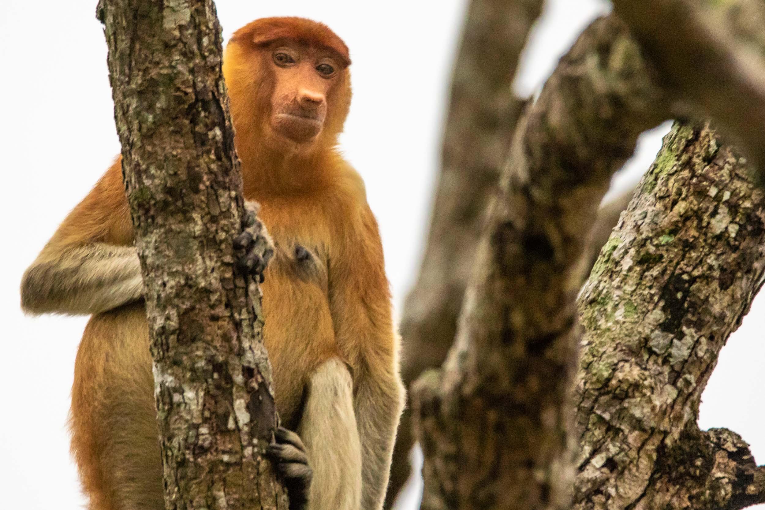 Female proboscis monkey, Brunei River, Brunei