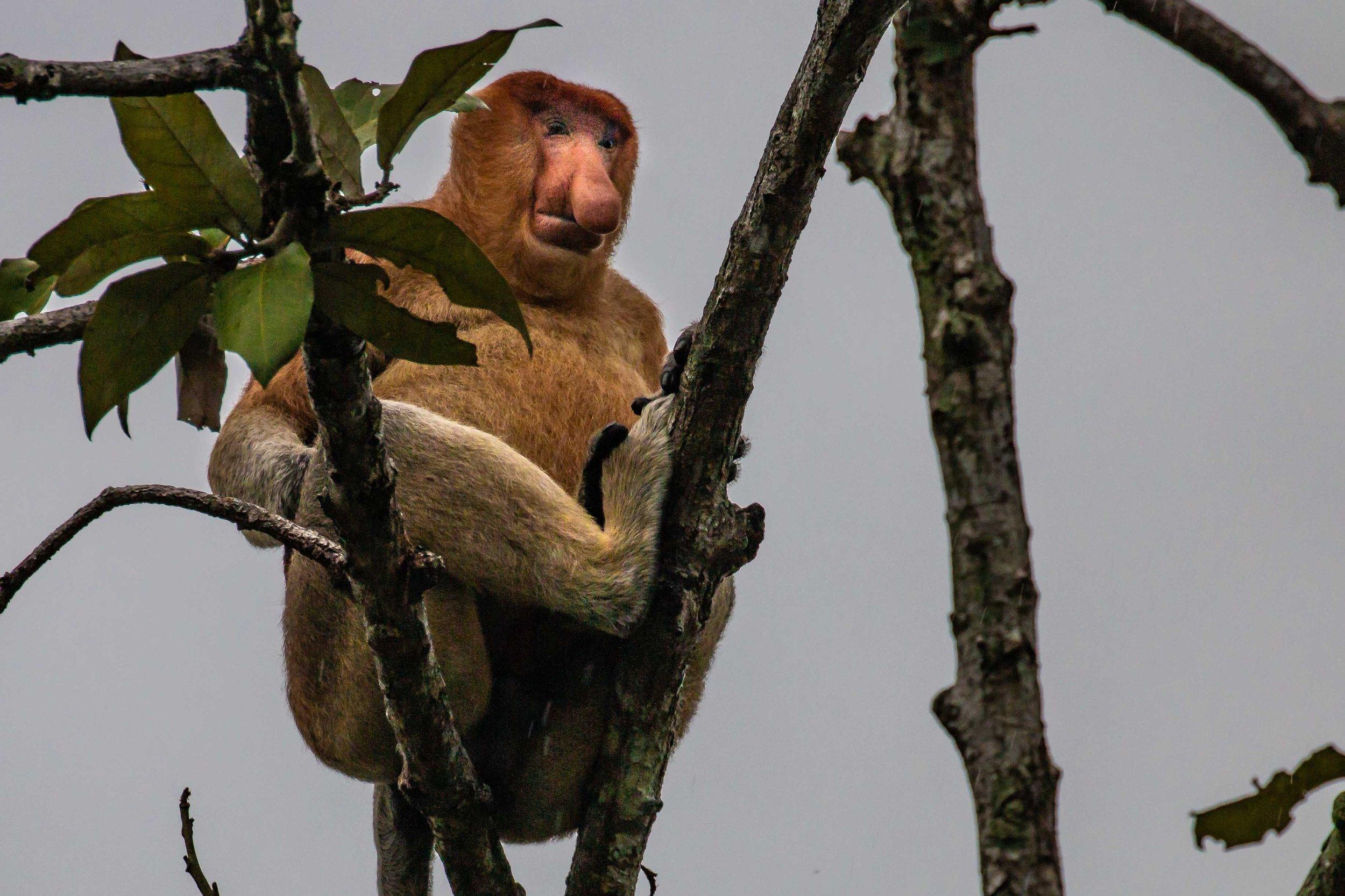 A large adult male Proboscis Monkey.