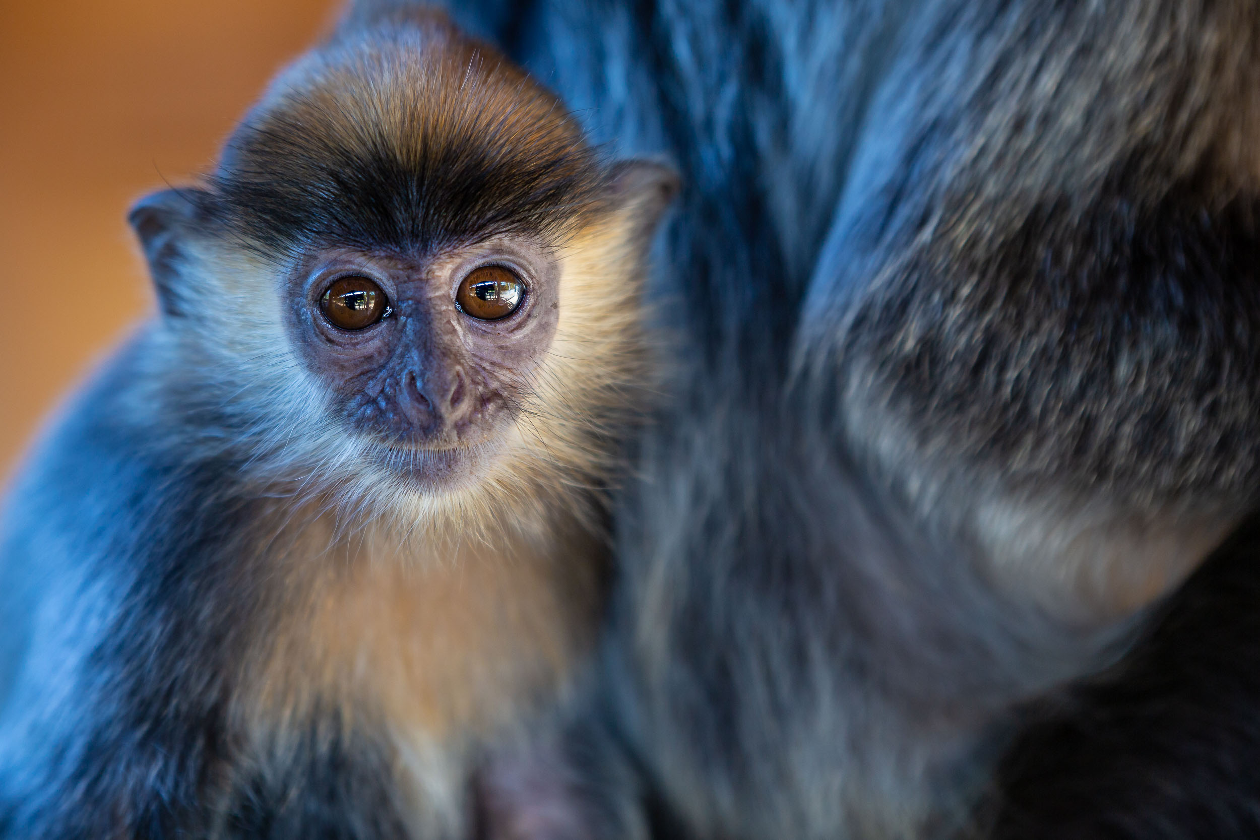 The baby Silver Leaf Langurs really did steal the show, at Labuk Bay Proboscis Monkey Sanctuary