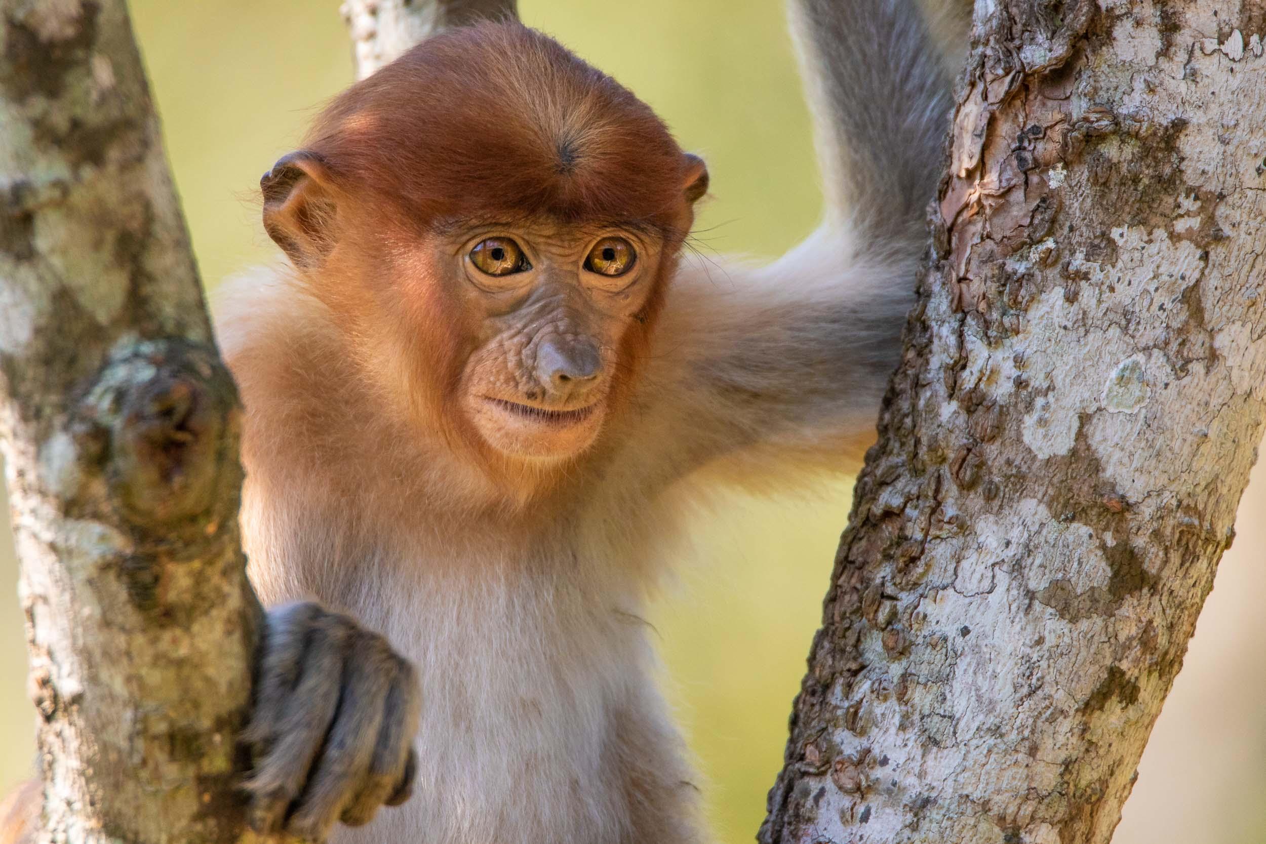 A juvenile proboscis monkey at  Labuk Bay Proboscis Monkey Sanctuary