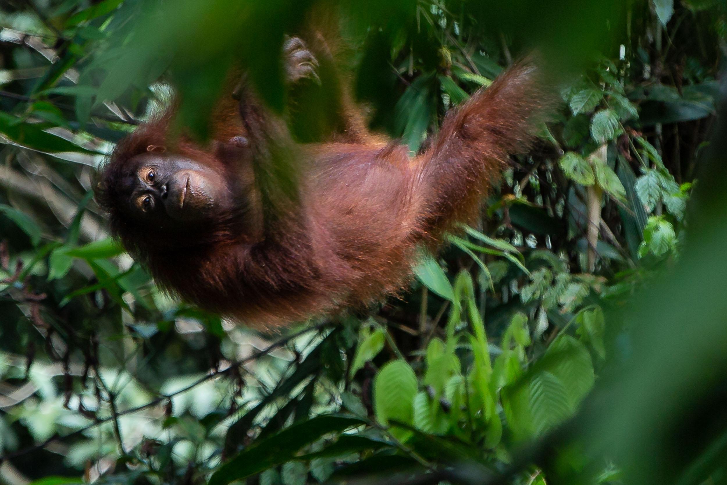 Rescued Female Orangutan at The Sepilok Orangutan Rehabilitation Centre