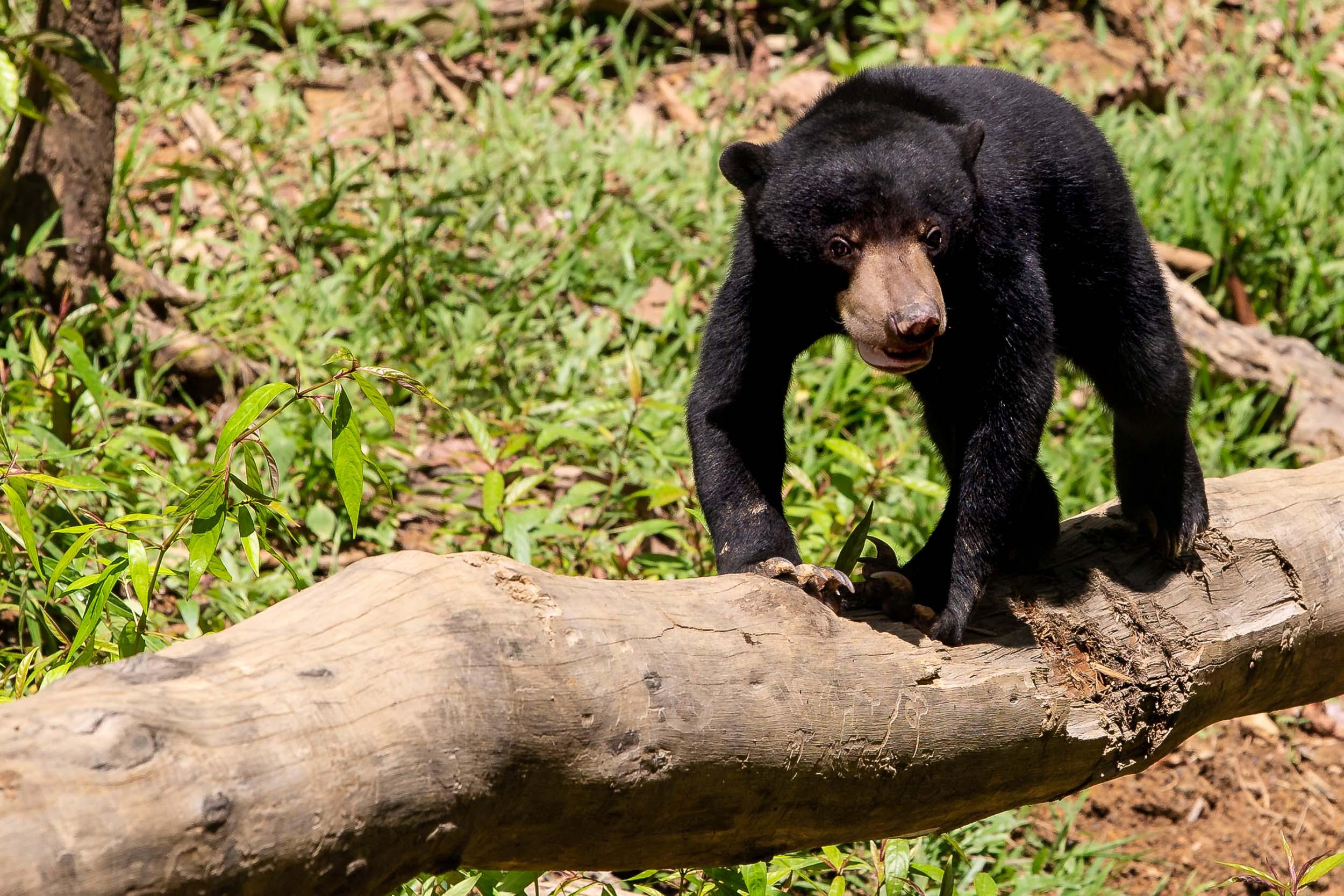 Rescued Sun Bear, Bornean Sun Bear Conservation Centre, Sepilok