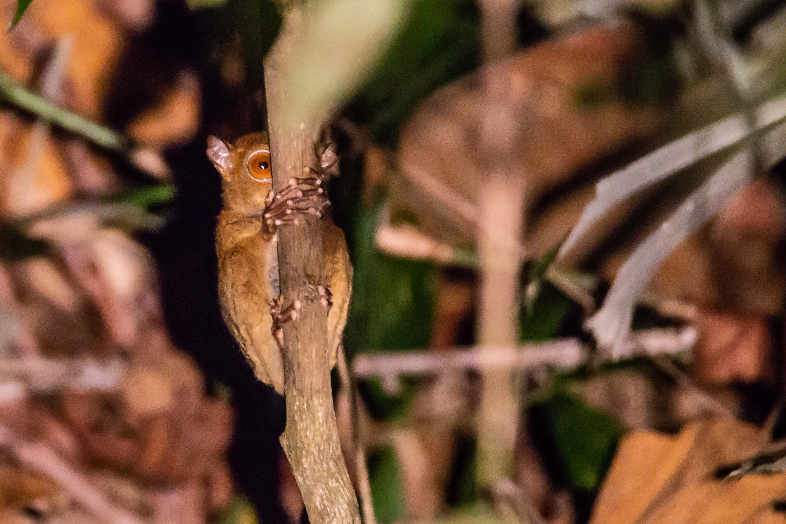 The Western Tarsier is extremely difficult, but not entirely impossible, to find, photographing them in the extreme low light, that is another matter!