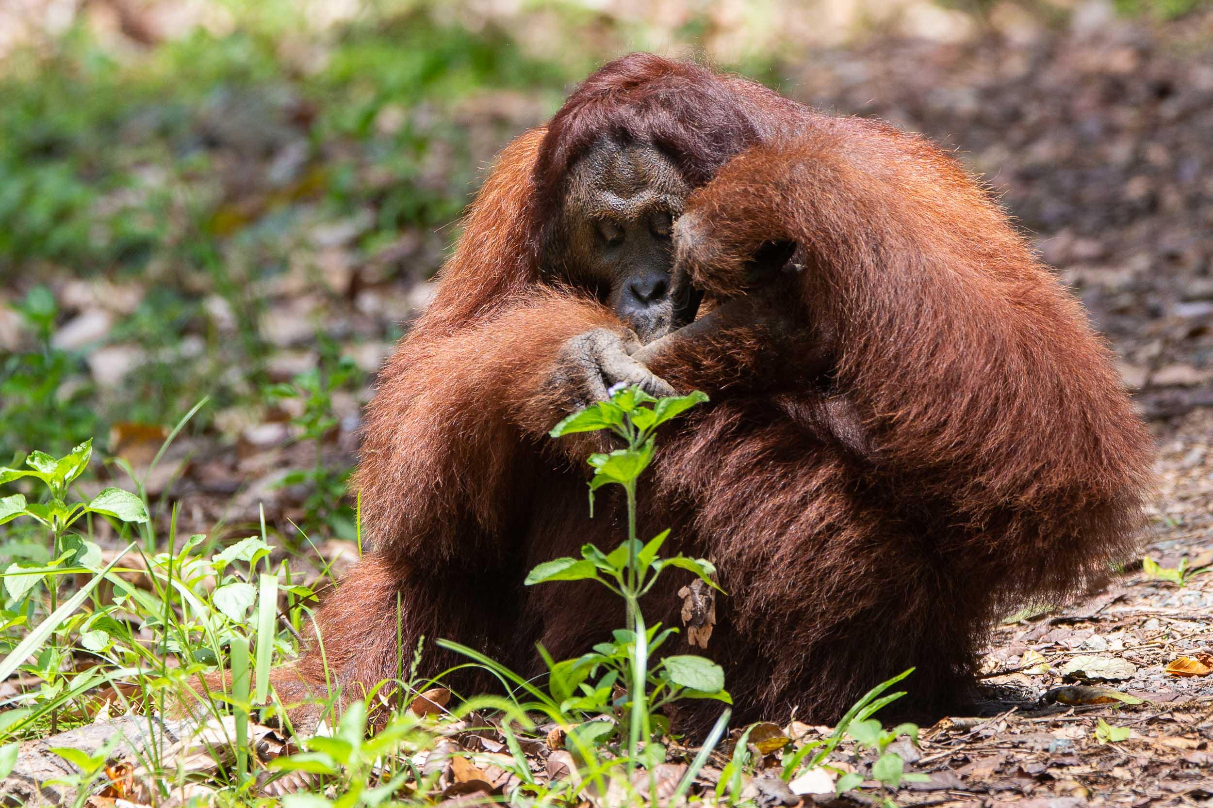 Large Male Orangutan with Flanged Cheeks sitting, Danum Valley, Sabah, Borneo, Malaysia (2).jpg